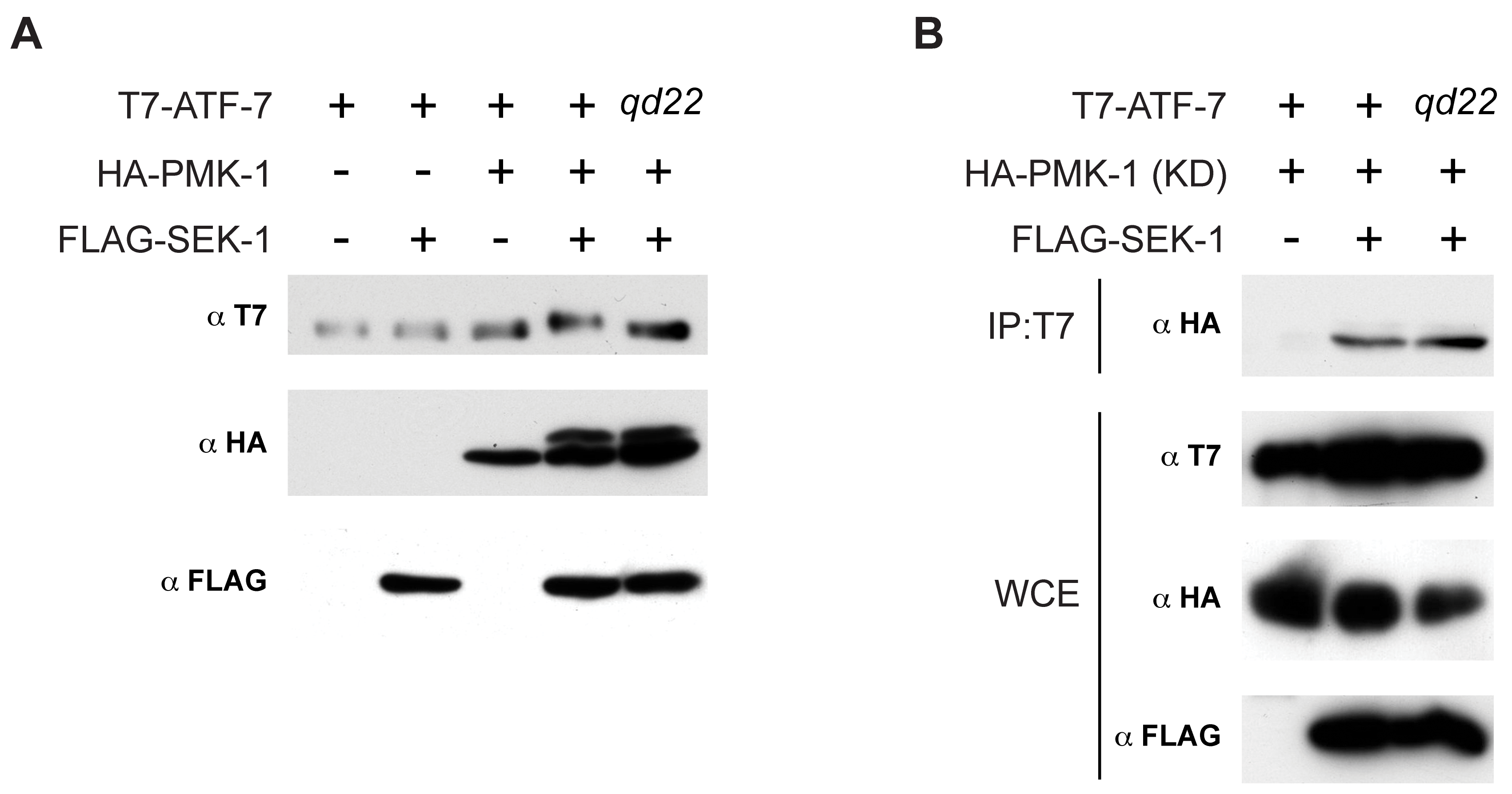 Phosphorylation of ATF-7 by PMK-1.