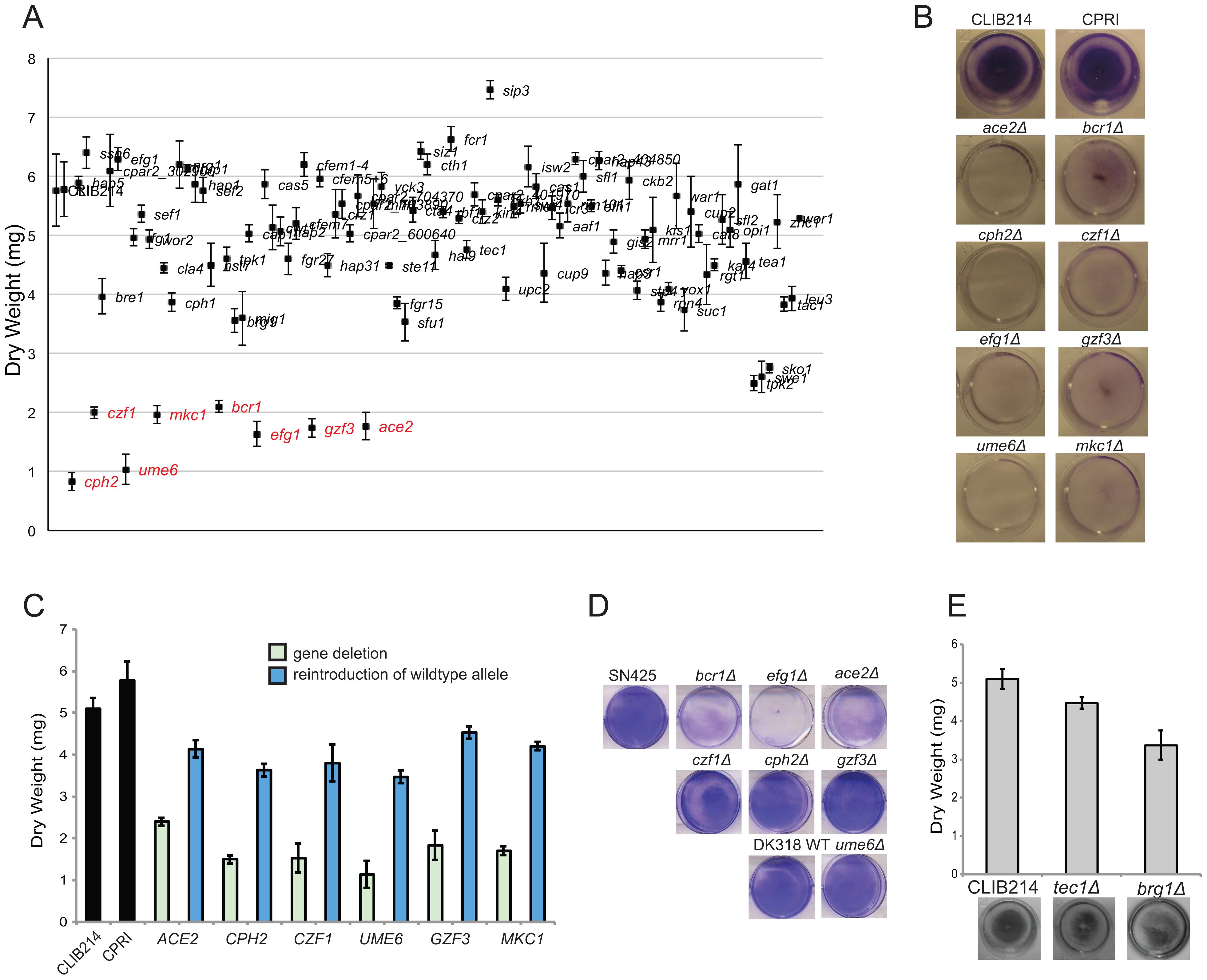 Identification of biofilm regulators in <i>C. parapsilosis</i>.
