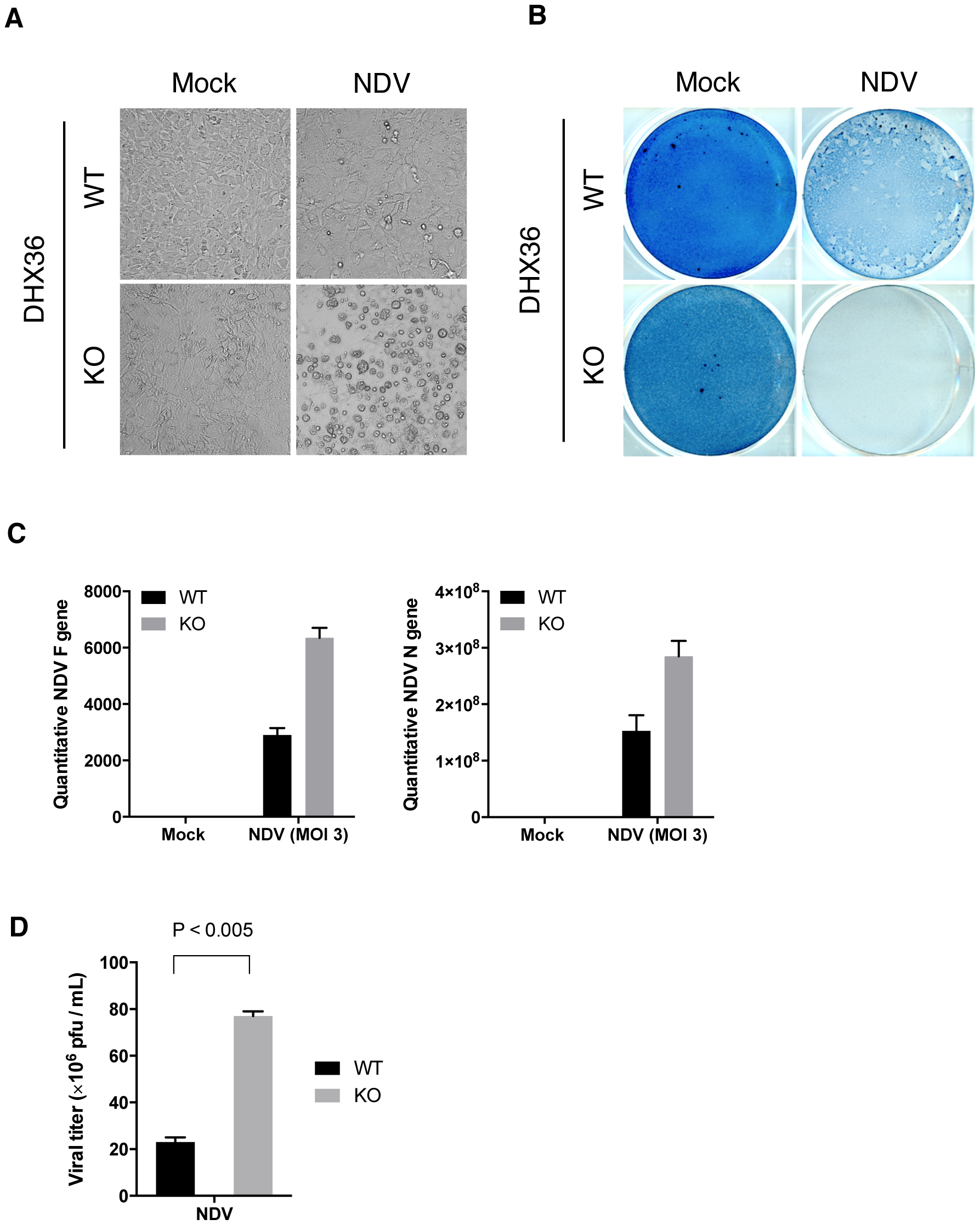 DHX36 deficiency results in enhanced cytopathic effect and propagation of NDV.