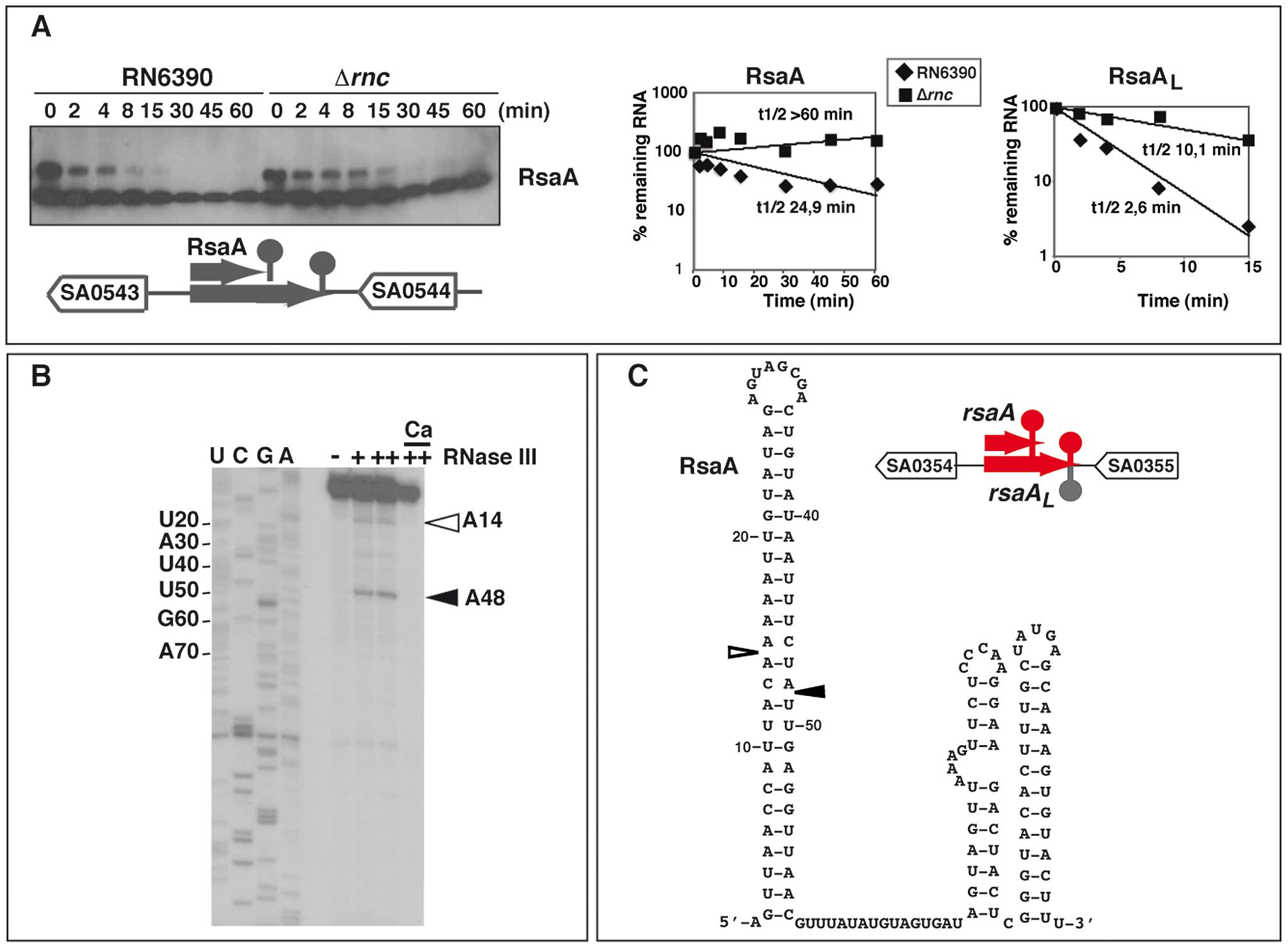 The ncRNA RsaA is a target of RNase III.