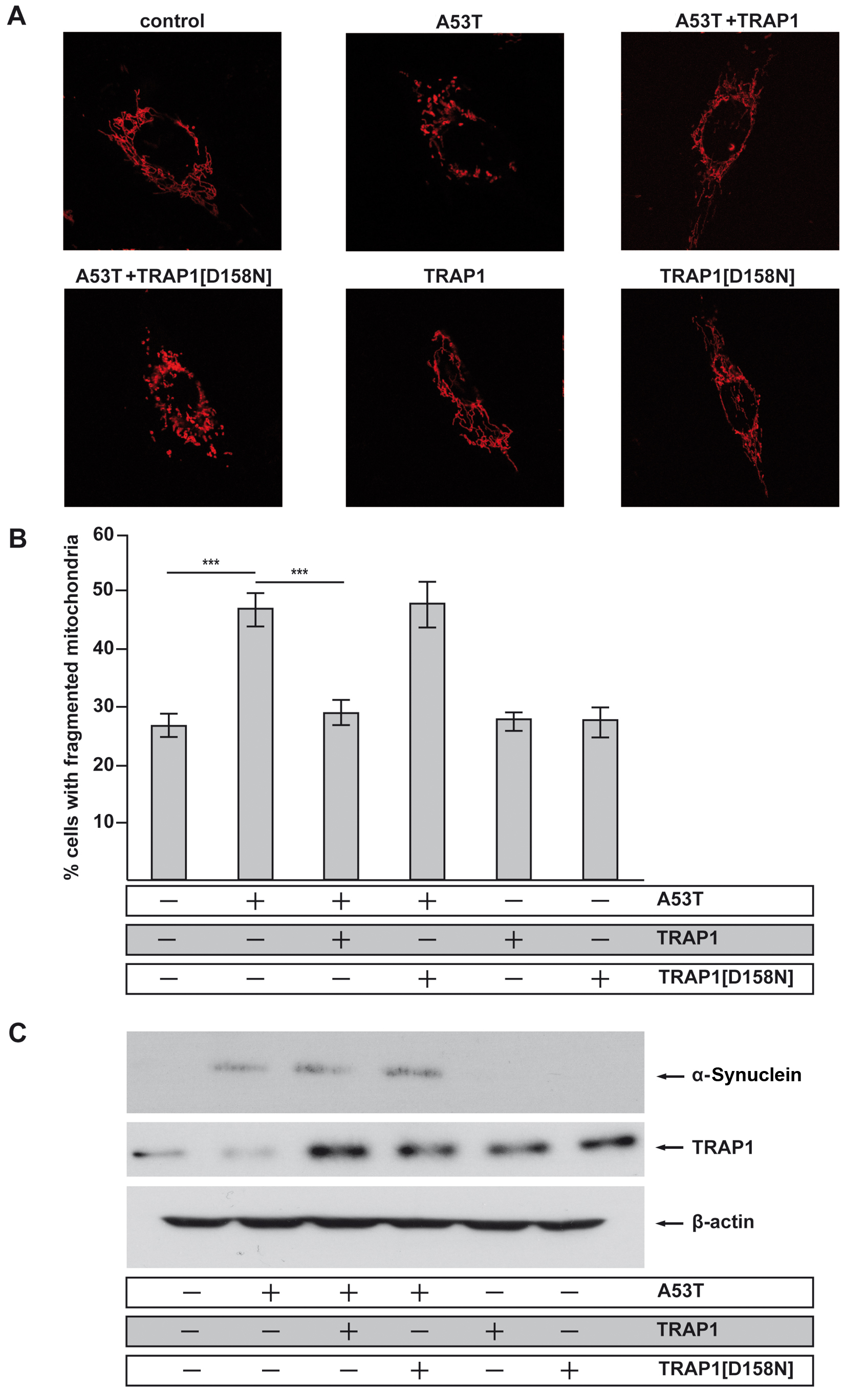 Inhibition of mitochondrial fusion by [A53T]α-Synuclein is rescued by TRAP1.