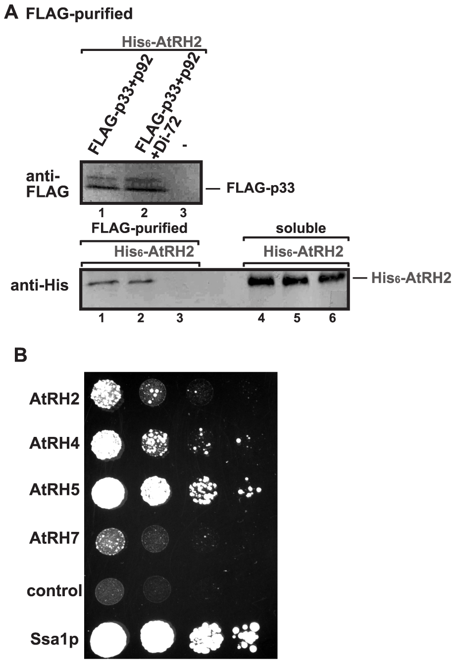 AtRH2 is a component of the tombusvirus replicase in yeast.