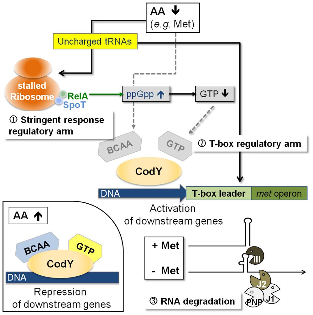 Model of a regulatory cascade for methionine biosynthesis operon control.