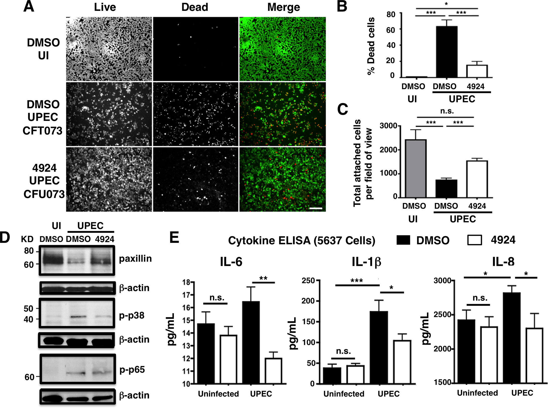 AKB-4924 reduces UPEC-mediated cytotoxicity and inflammation in human uroepithelial cells.