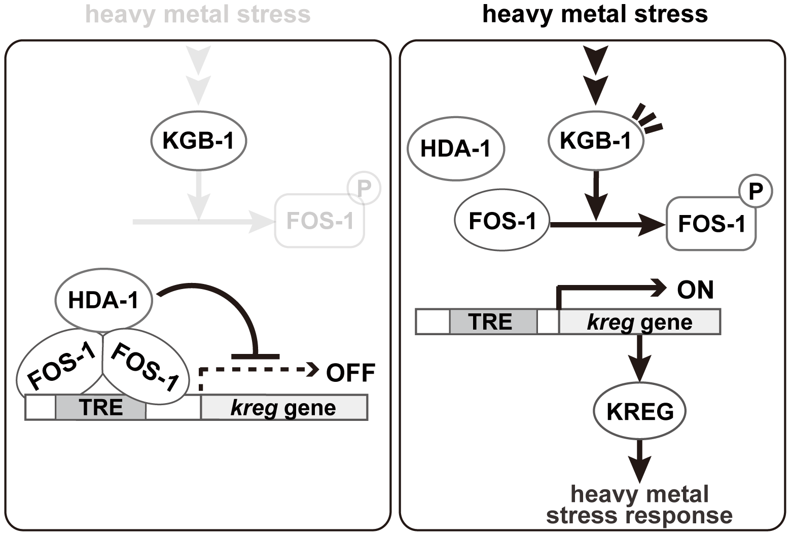 Proposed model for the KGB-1 pathway in stress response.