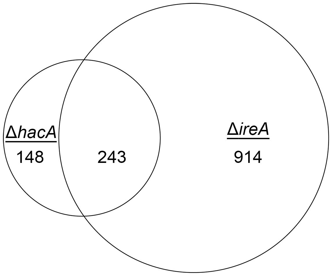 Identification of a HacA-independent gene regulatory network mediated by IreA.