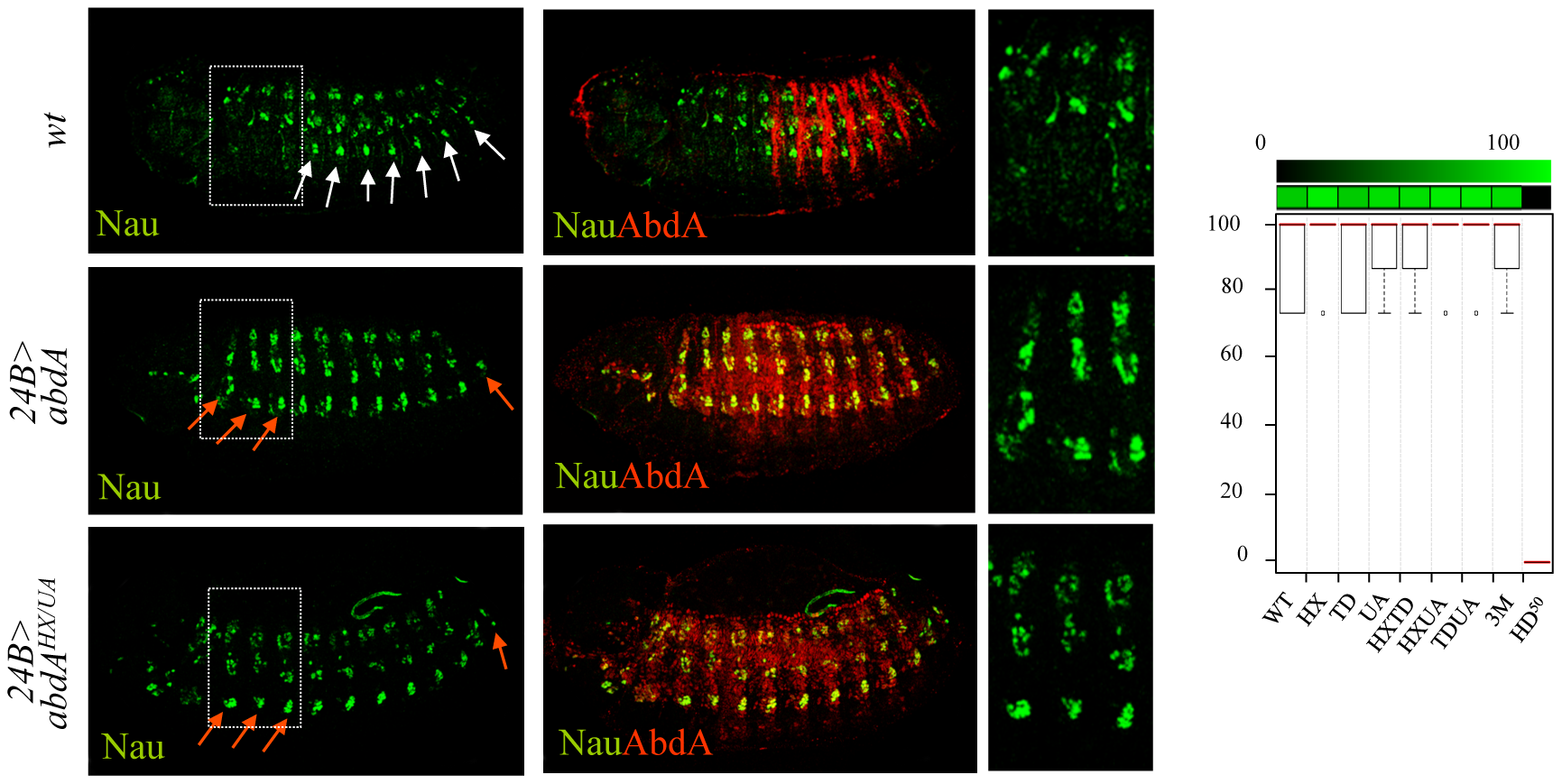 Dispensability of HX, TD, and UA protein domains for somatic muscle specification.