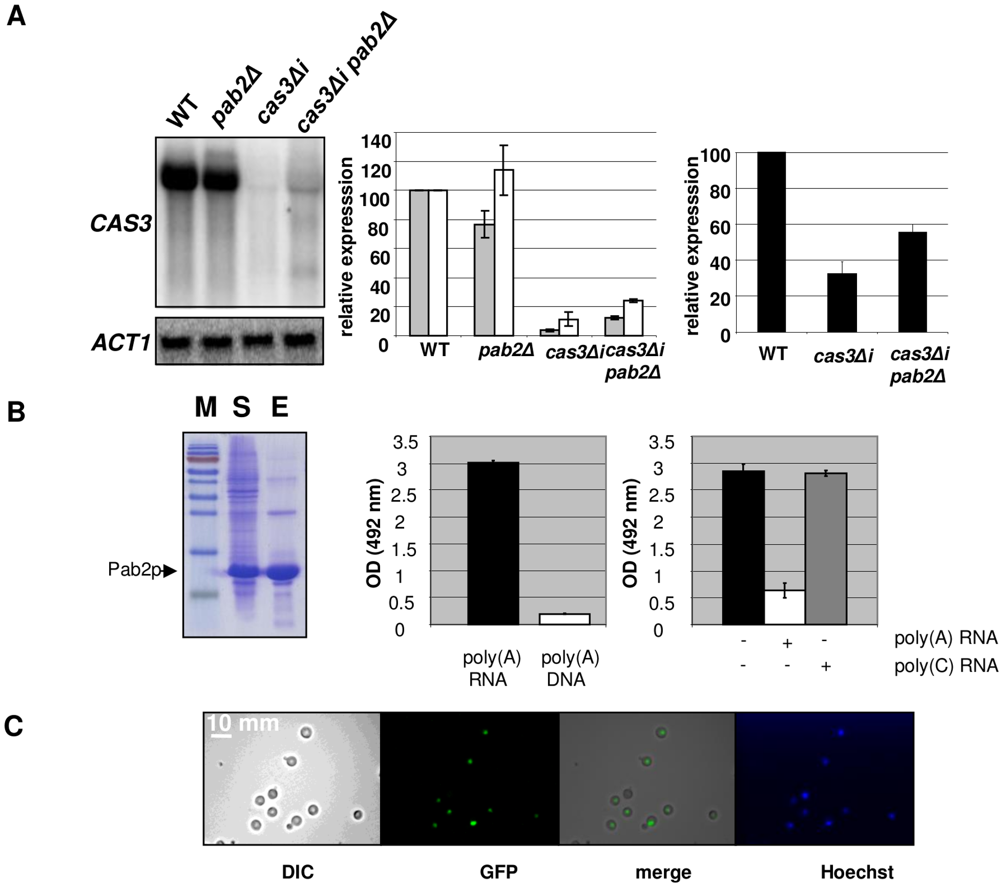 Pab2p is a nuclear poly(A) binding protein necessary for intron-dependent regulation of <i>CAS3</i> expression.