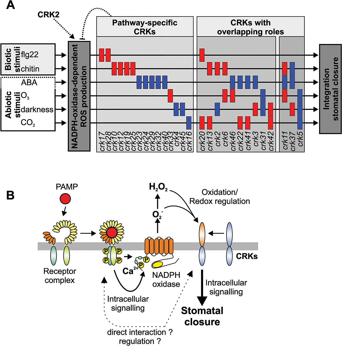 Models of CRK function and how they could provide specificity of stomatal aperture regulation.