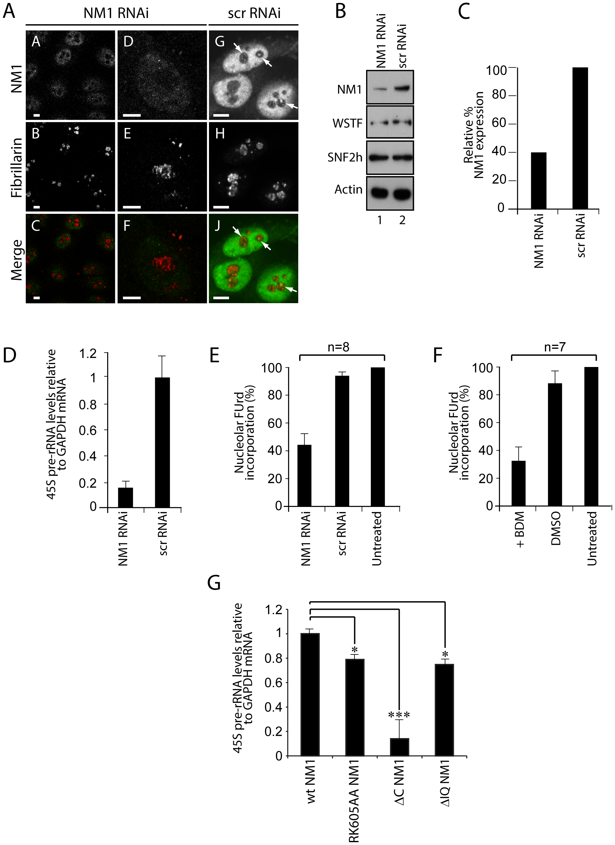 A functional NM1 is required for the activation of pol I transcription.