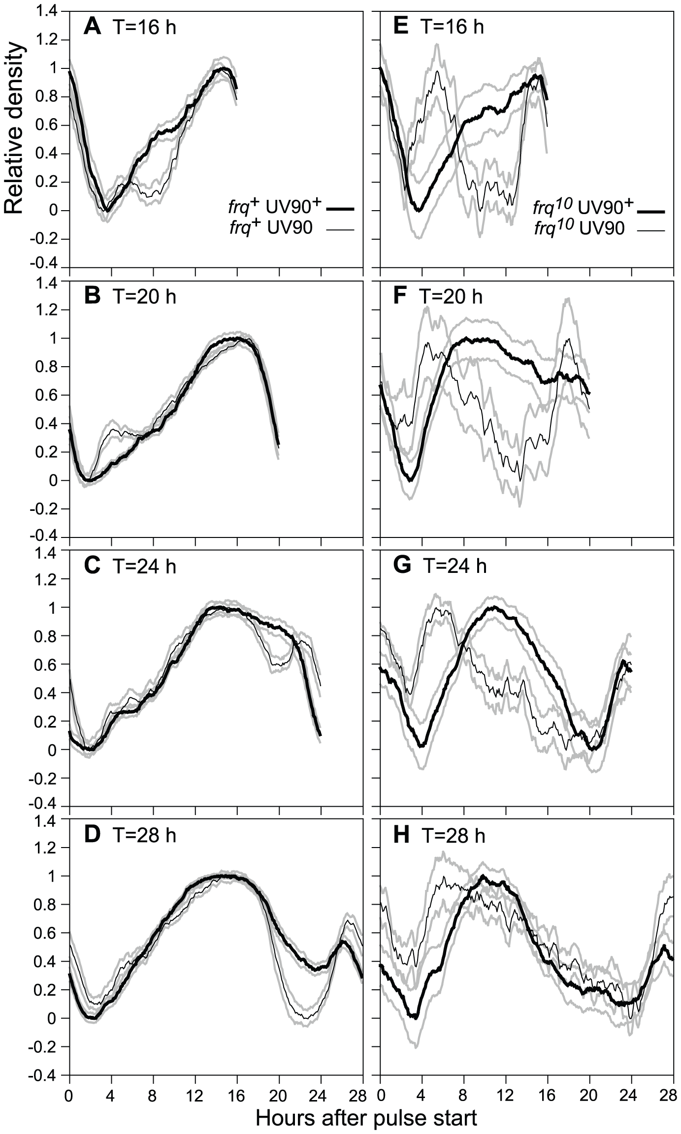 Effects of UV90 mutation on entrainment to high temperature pulses.