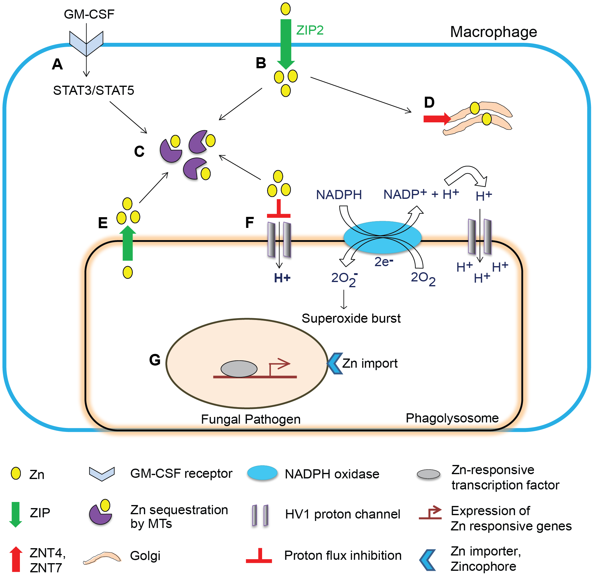 Schematic of Zn regulation in activated macrophages infected with a fungal pathogen.