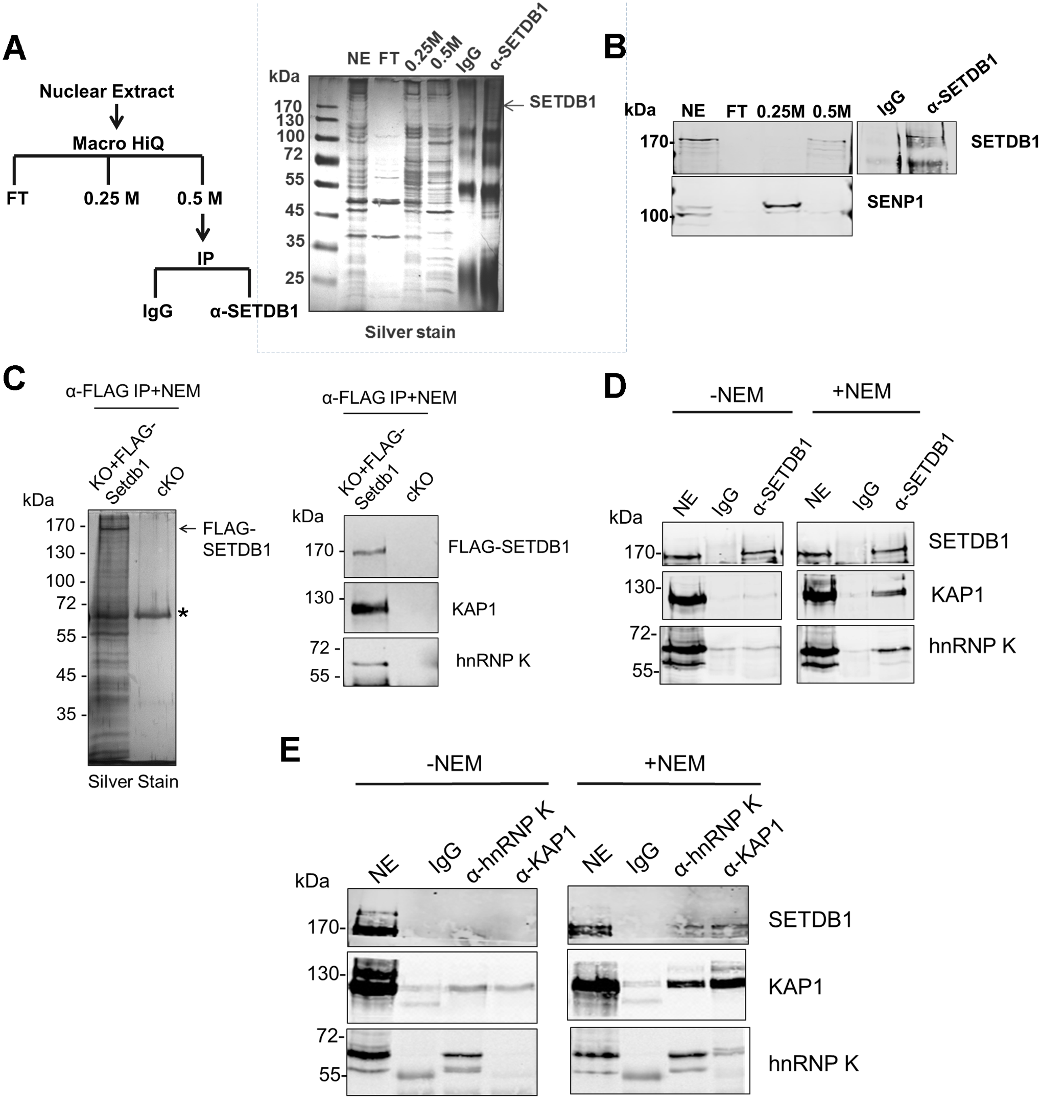 hnRNP K is associated with SETDB1 and KAP1 in mESCs.