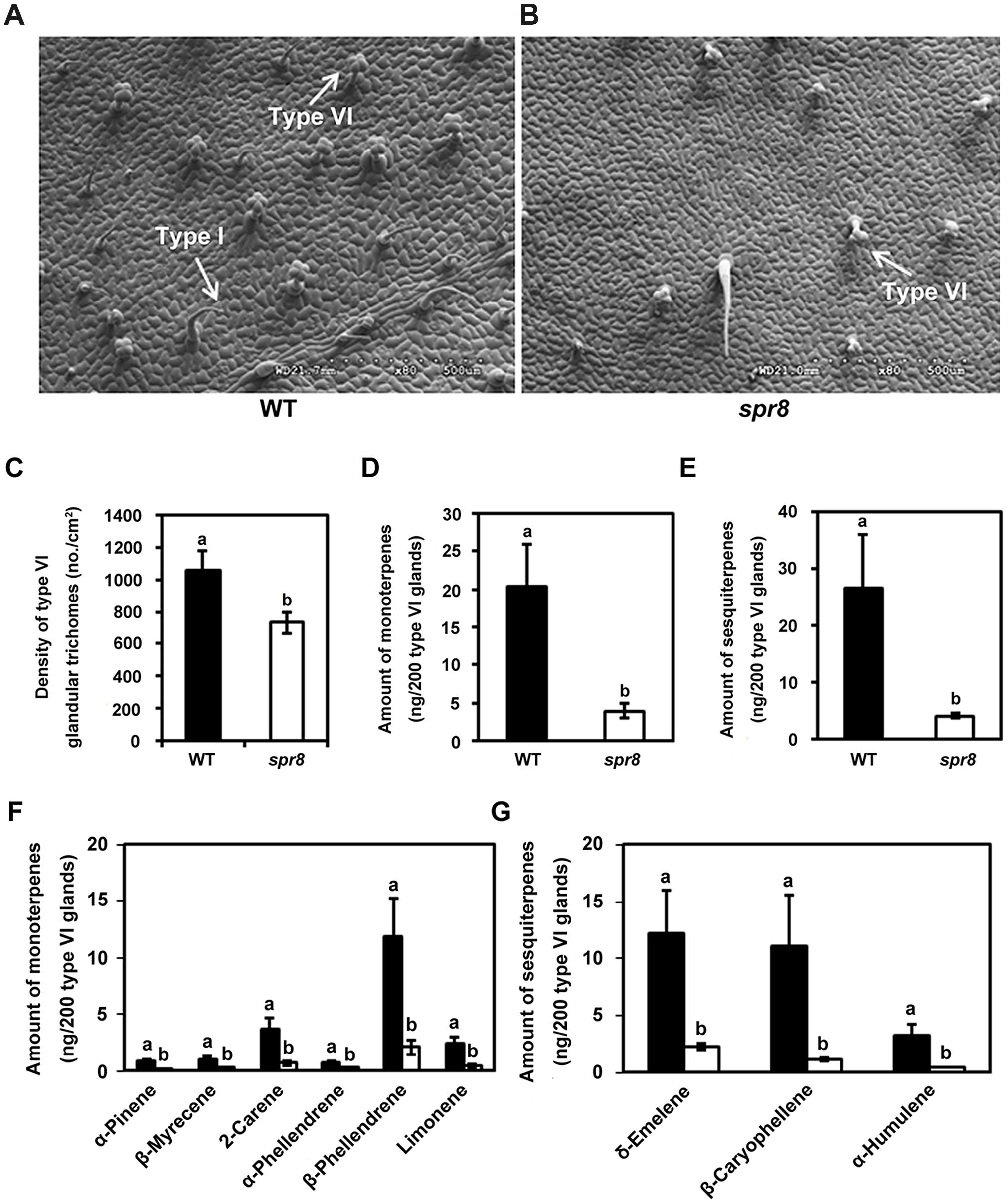 <i>spr8</i> impairs trichome development and exhibits defect in type VI glandular trichome exudates.