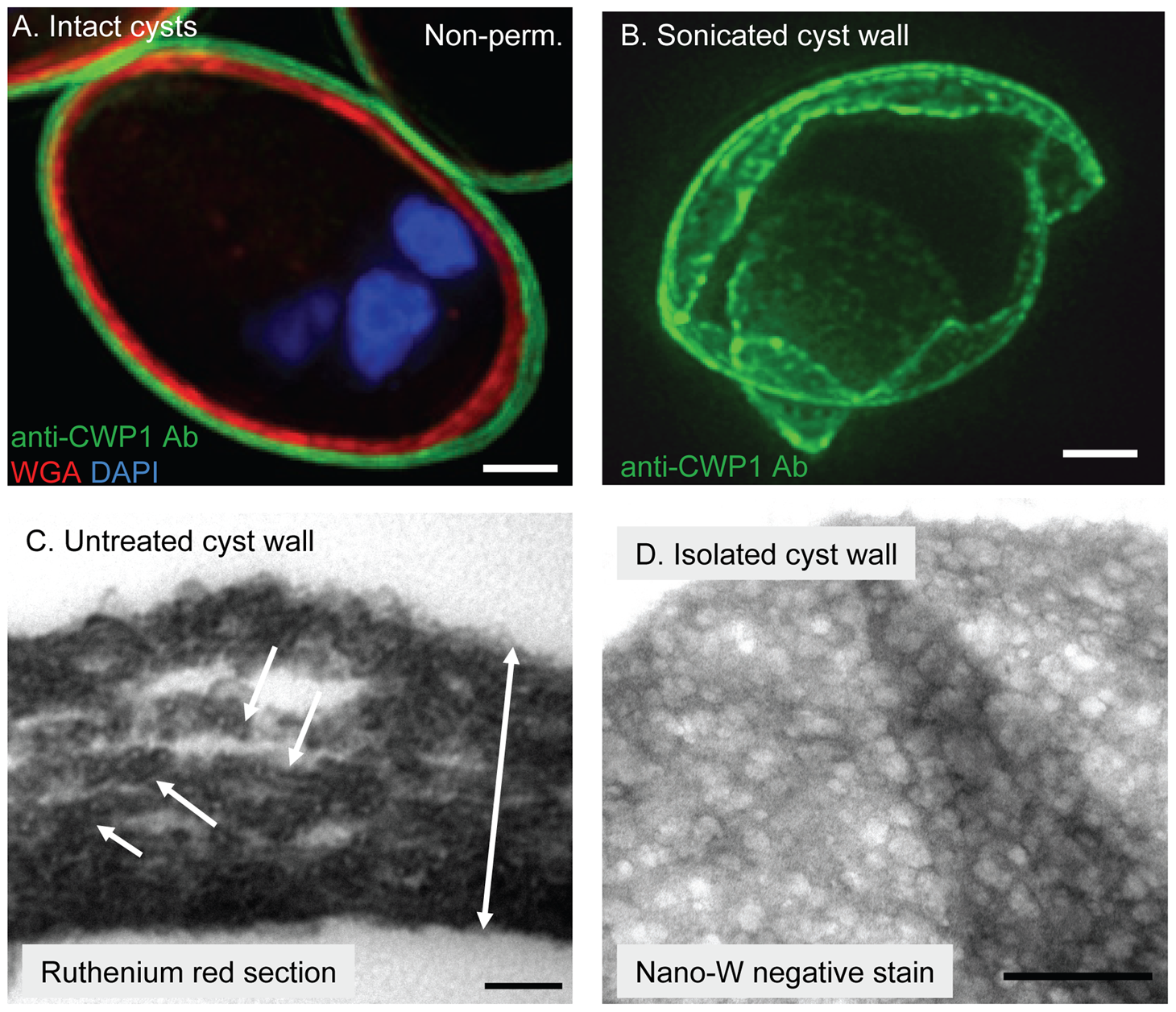 In intact <i>Giardia</i> cyst walls, curled fibrils of the GalNAc homopolymer form a protein-coated lattice that is restricted to a narrow plane.