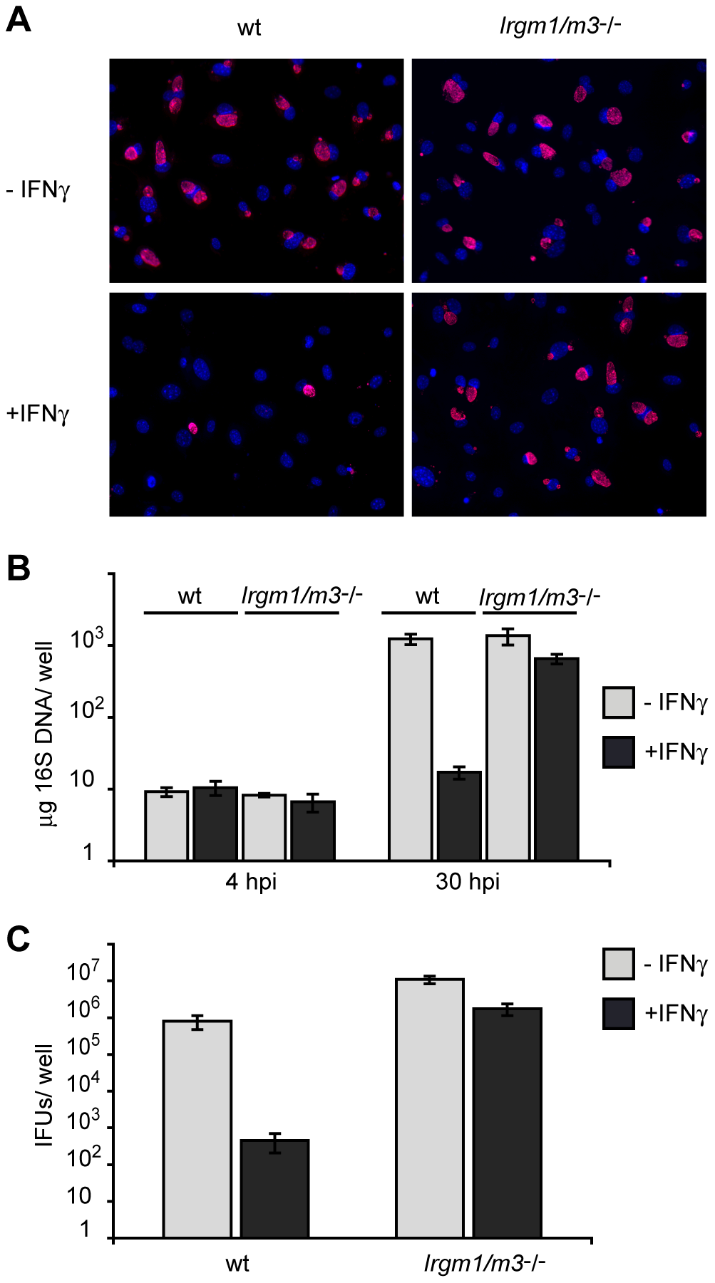 Cells doubly deficient for <i>Irgm1</i> and <i>Irgm3</i> exert minimal IFNγ-induced cell-autonomous resistance to <i>C. trachomatis</i>.