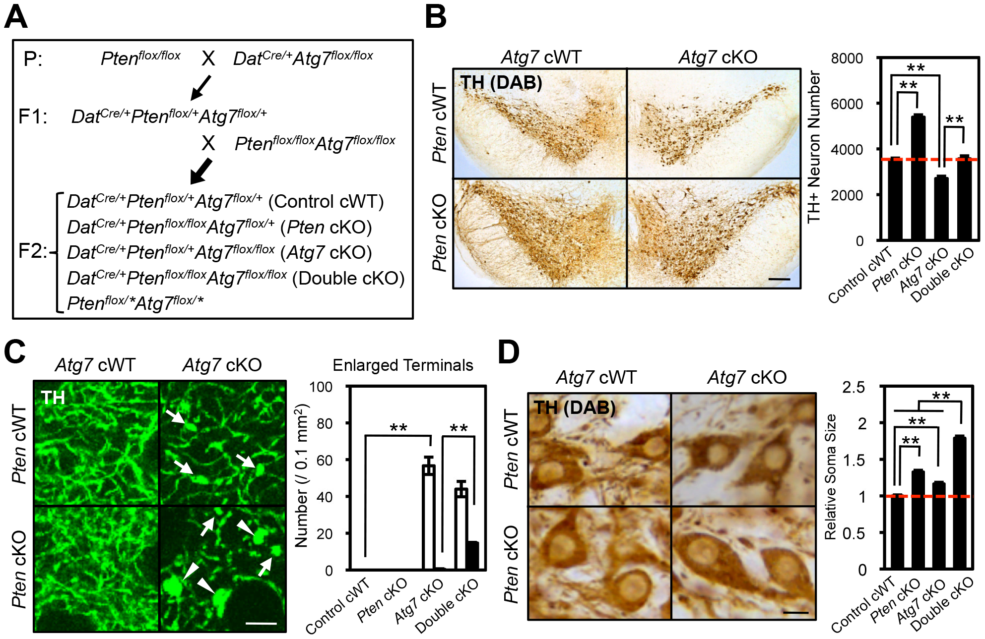 Atg7 and Pten double deficiency synergistically increases axon terminal size in midbrain DA neurons.