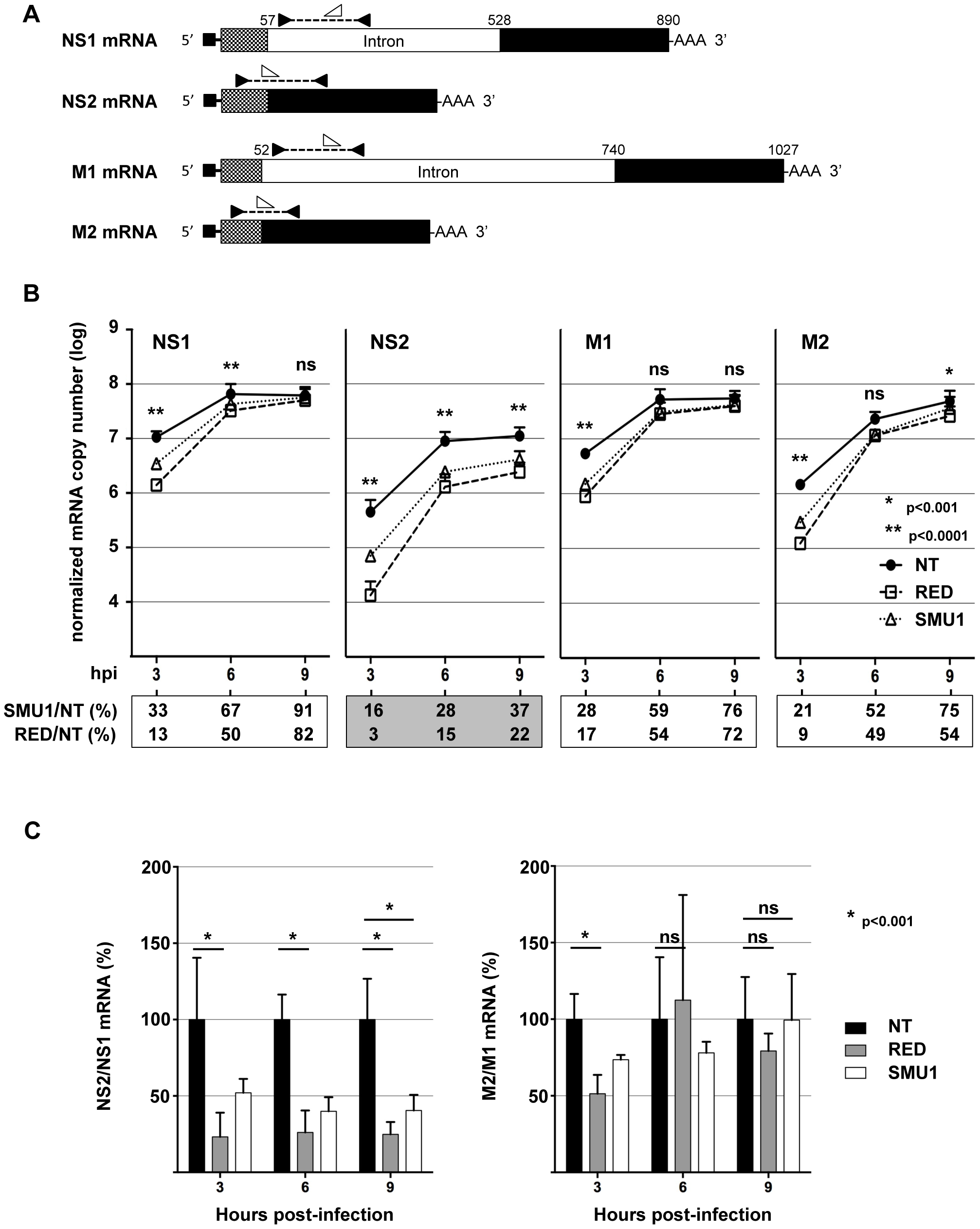 Effect of RED or SMU1 knock-down on the accumulation of influenza virus mRNAs.