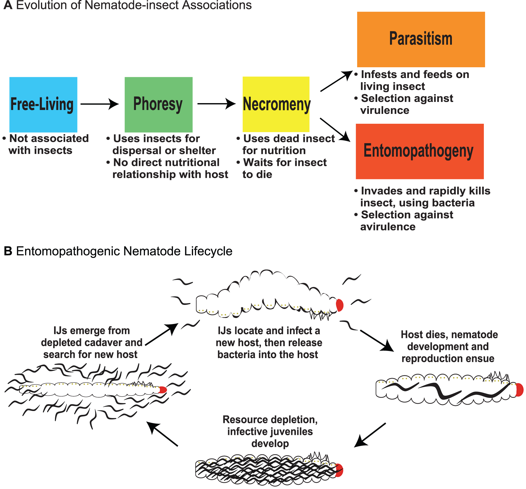 Evolution of nematode–insect associations and the entomopathogenic nematode life cycle.