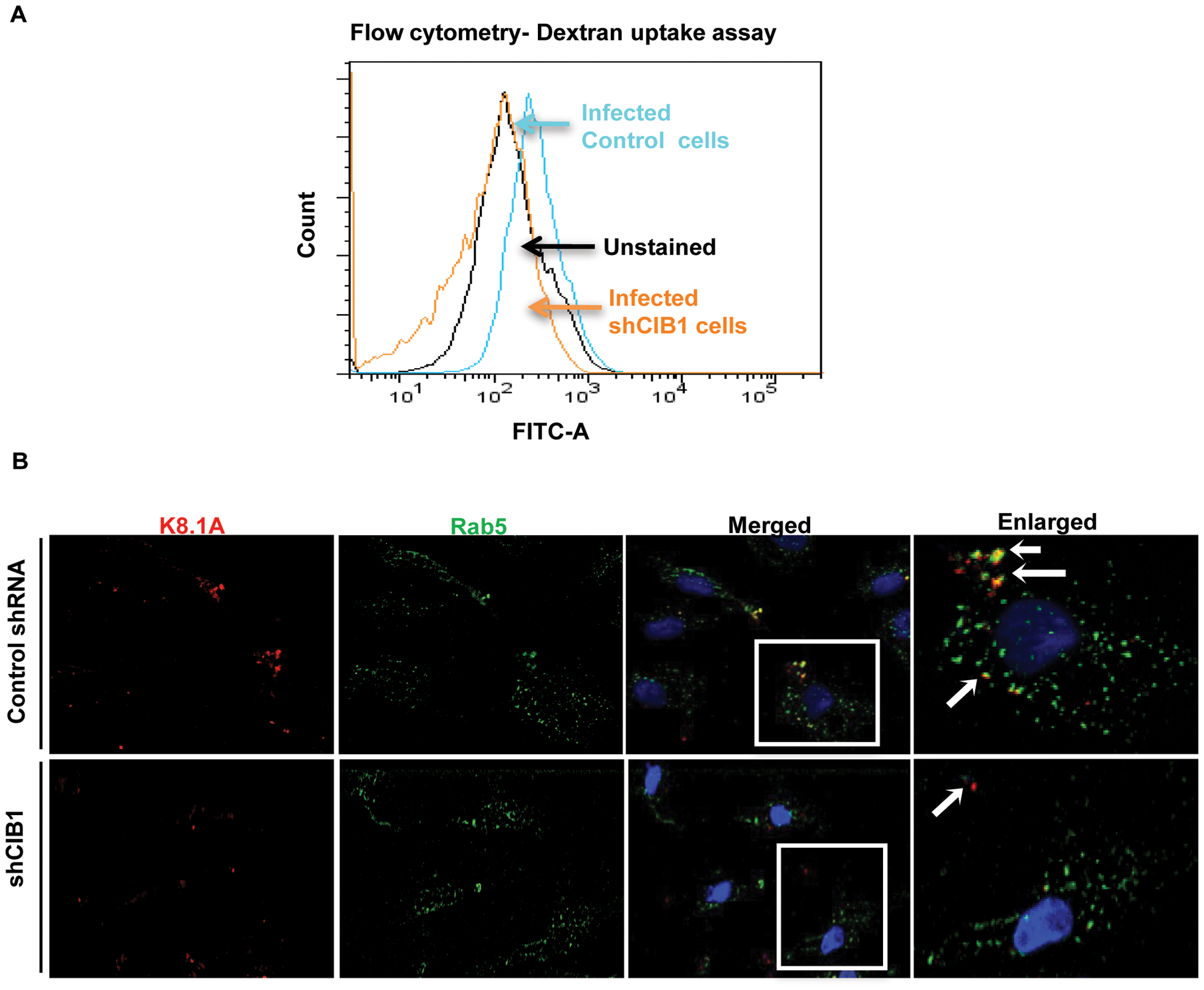 Effect of CIB1 knockdown on productive KSHV trafficking in endothelial cells.