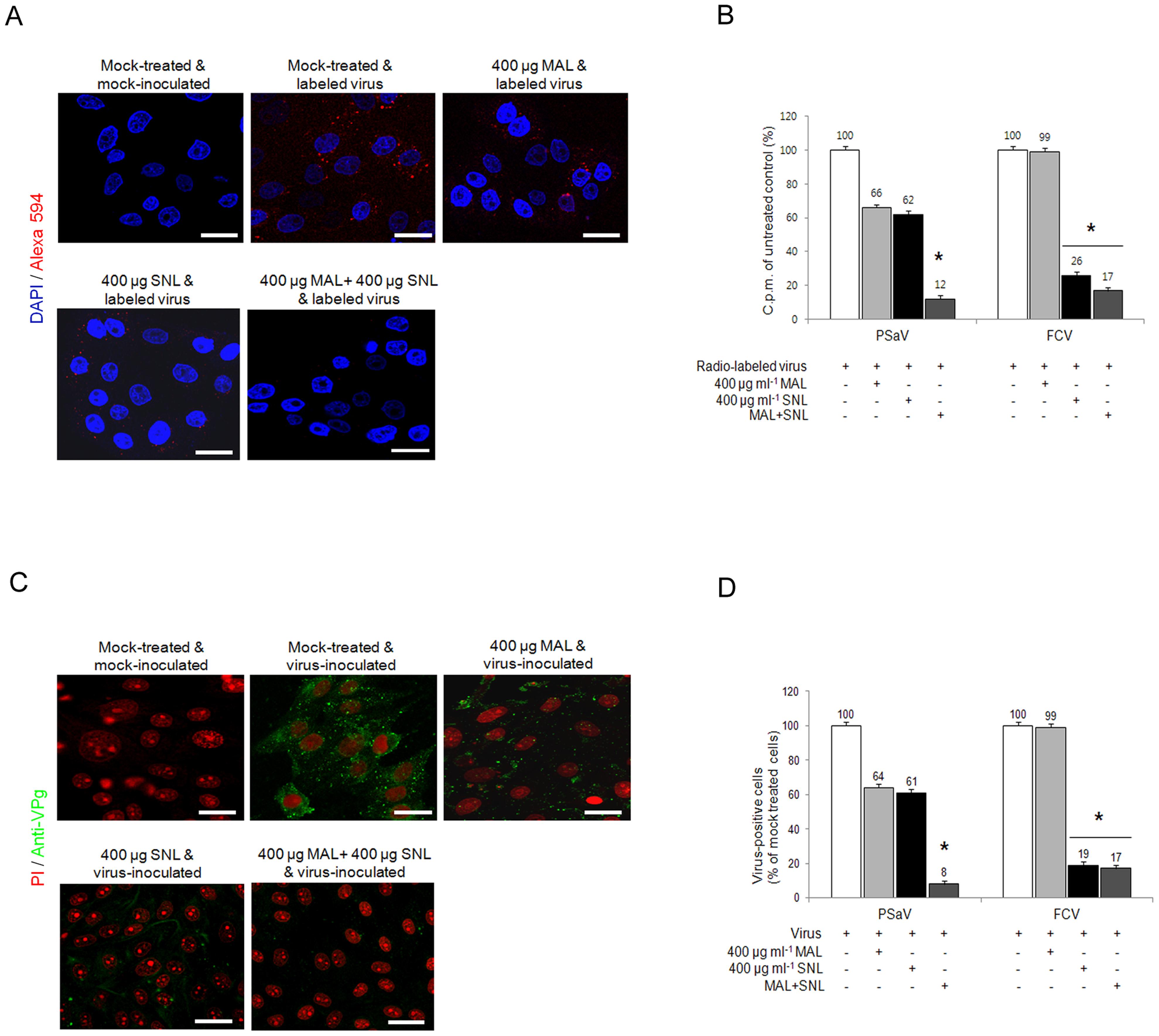 Porcine sapovirus interacts with α2,3- and α2,6-linked sialic acids.
