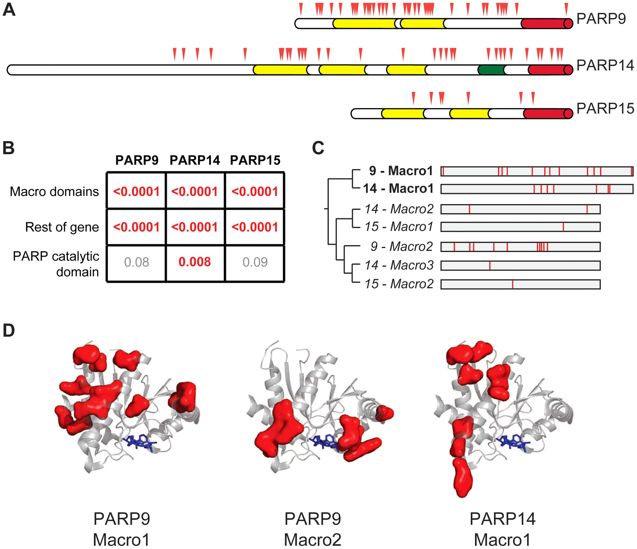 Widespread distribution of positive selection in macro-PARP genes.