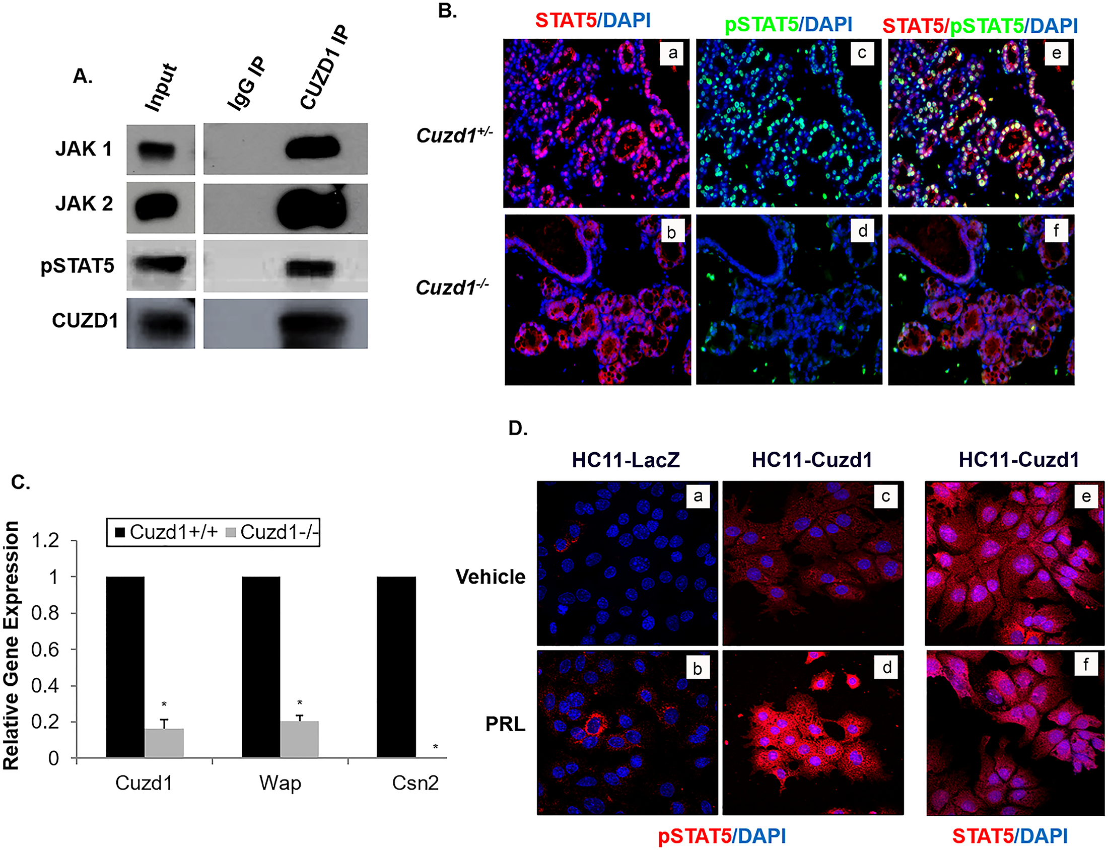 CUZD1-mediated STAT5 signaling is necessary for PRL-induced proliferation and differentiation of the mammary gland.