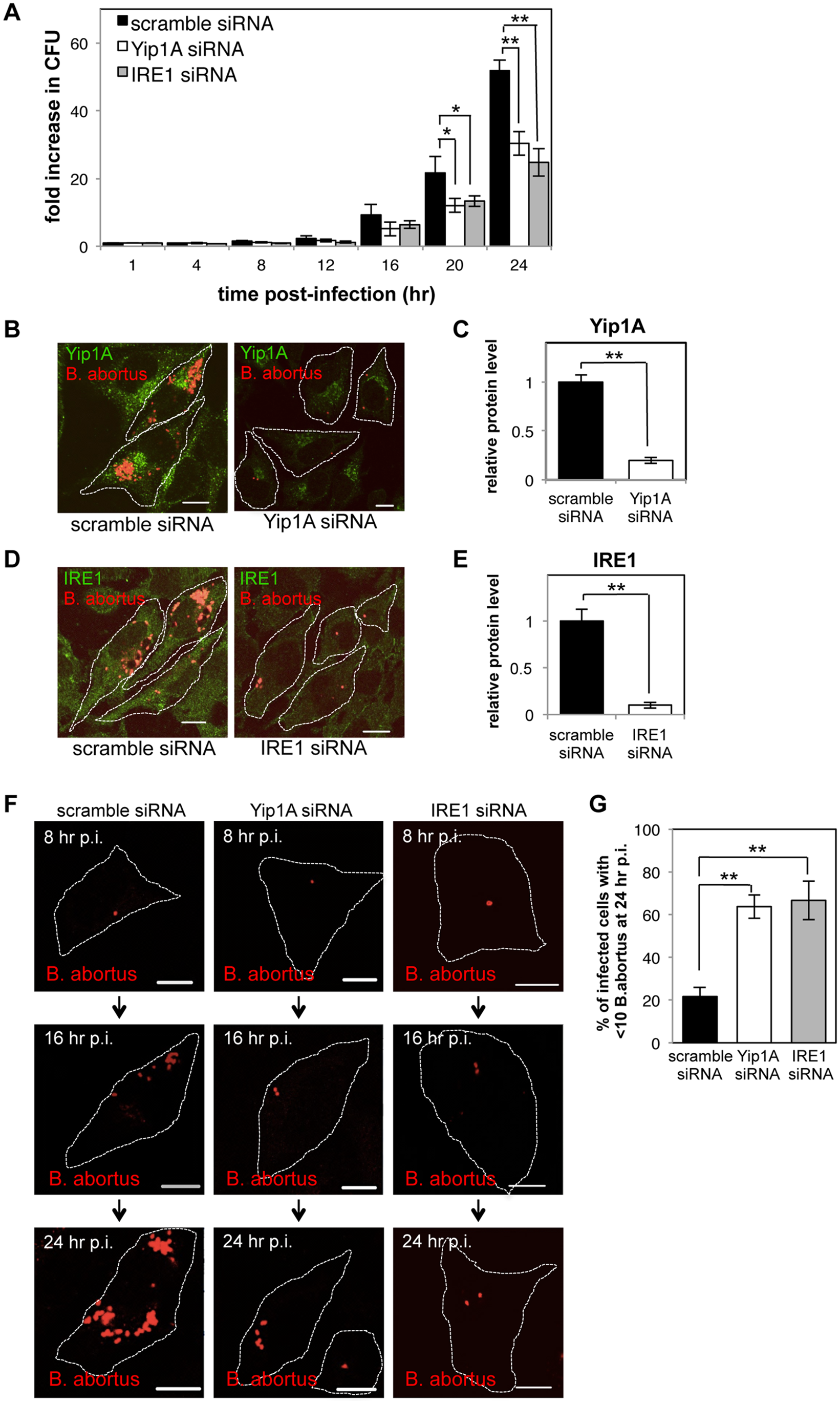 Yip1A-knockdown results in deficient replication of <i>B</i>. <i>abortus</i> within HeLa cells.