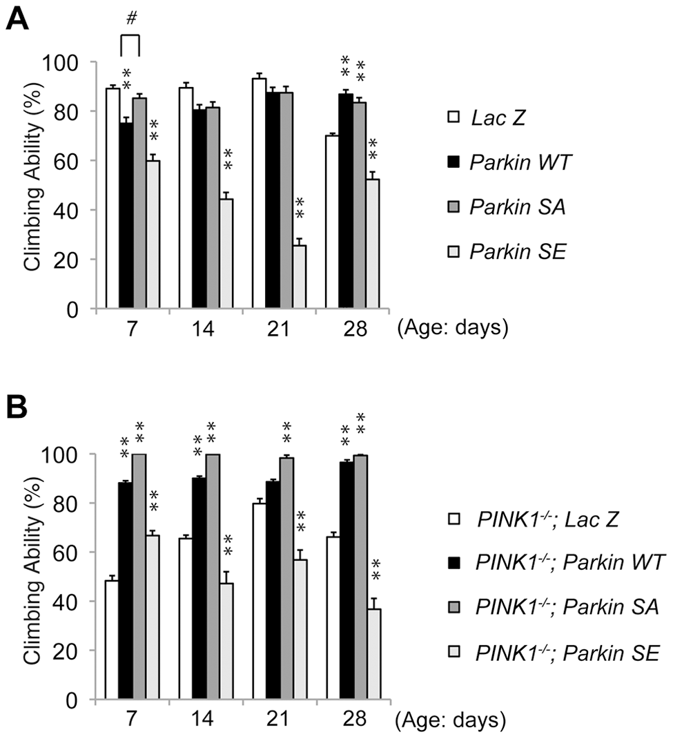 Constitutive expression of SE Parkin impairs motor behavior.