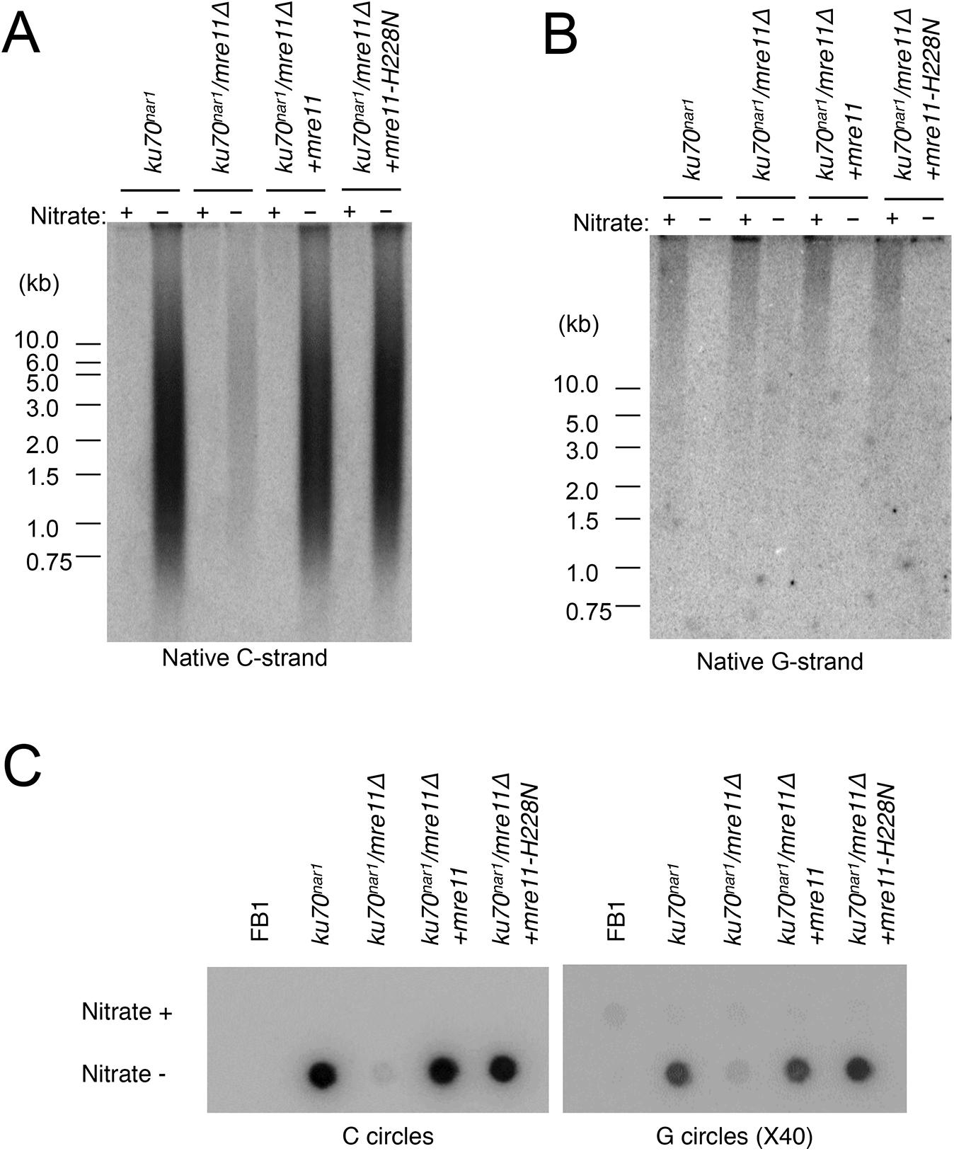 Suppression of the ALT telomere phenotypes of <i>ku70</i><sup><i>nar1</i></sup> mutant by <i>mre11</i> deletion.