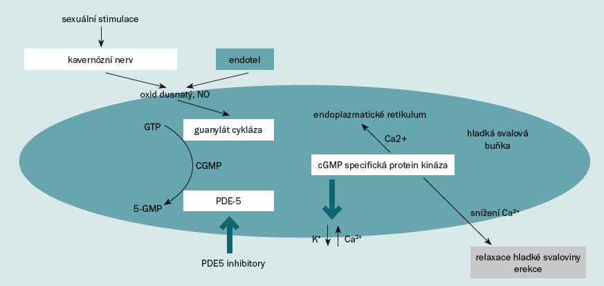 Schéma 1. Přenos signálu na hladkou svalovinu penisu. Čerpáno a modifikováno dle [25].