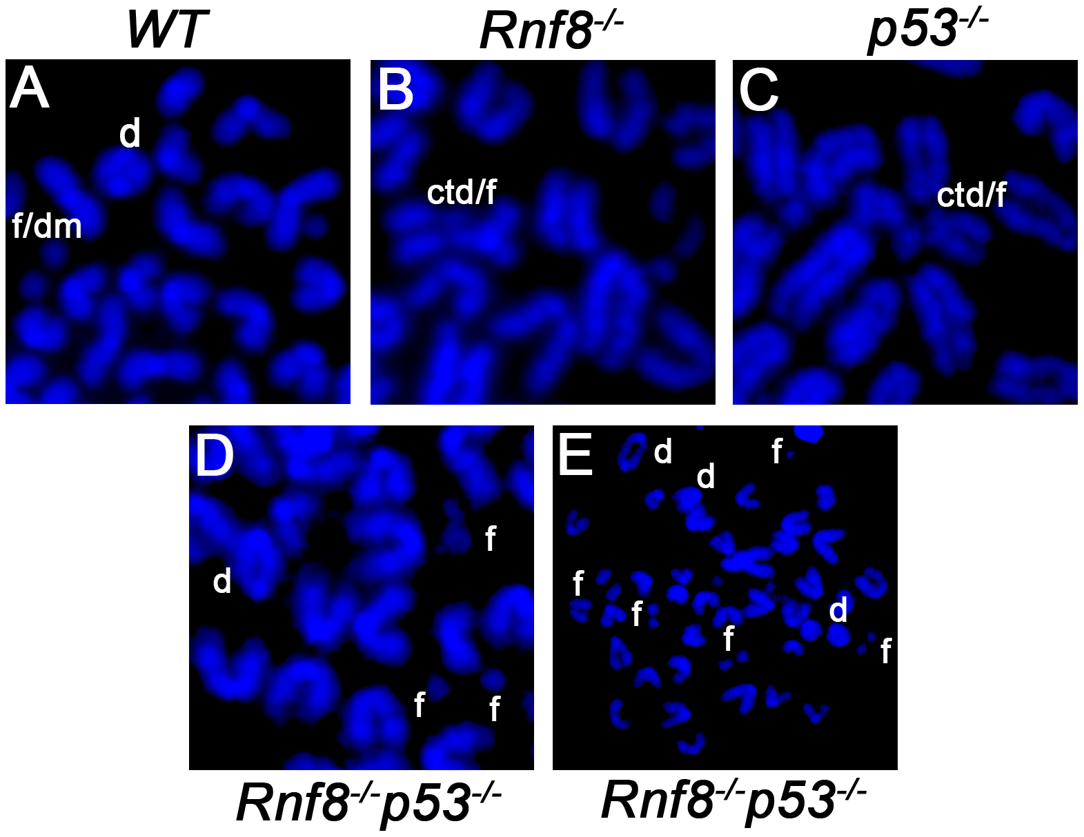 Representative chromosomal abnormalities observed in activated B-cells from <i>Rnf8<sup>−/−</sup>p53<sup>−/−</sup></i> mice and control littermates.