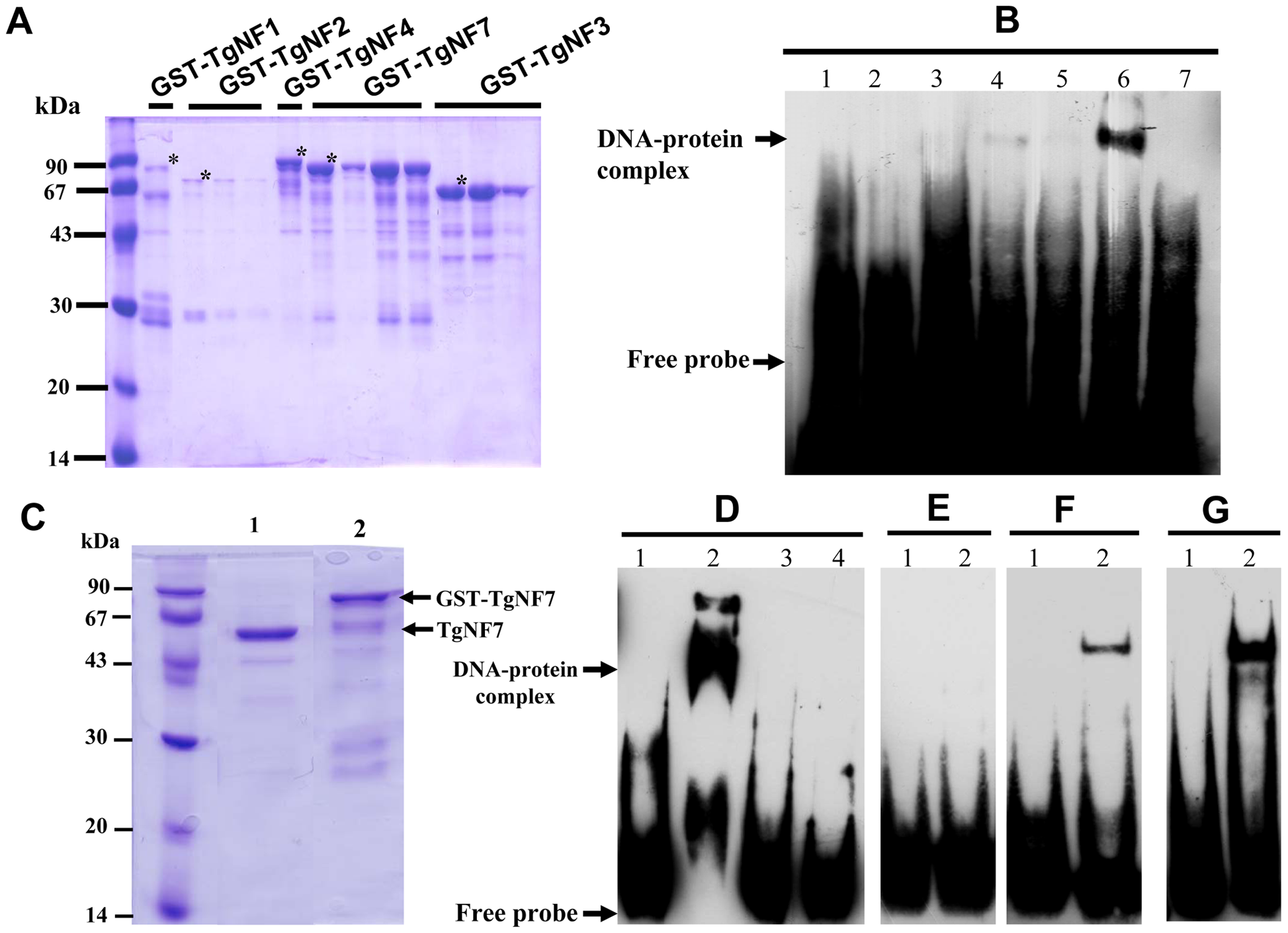 Evidence for specific TgNF7 protein-DNA interactions within the promoter of ENO1.