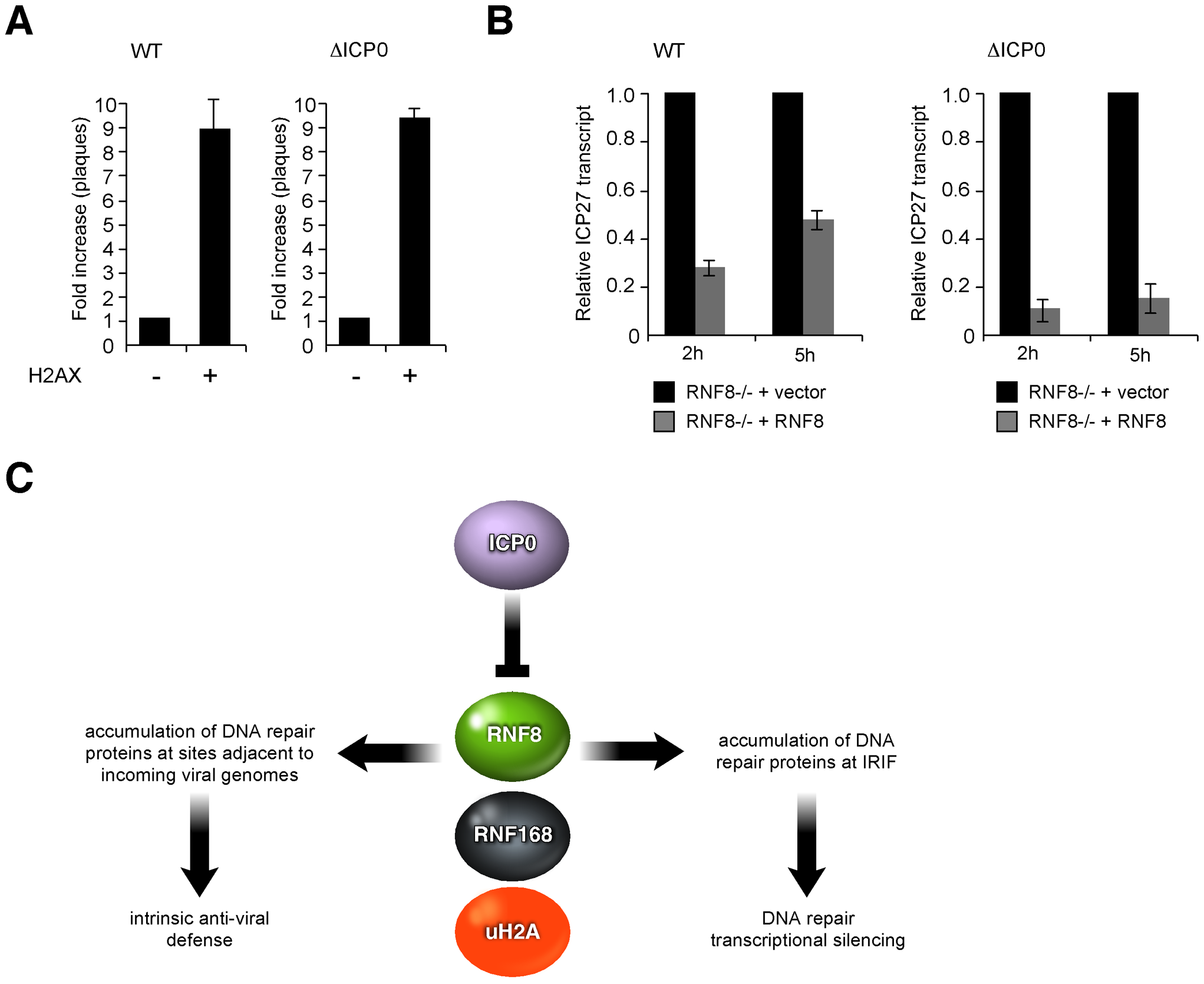 H2AX is beneficial for HSV-1 replication while RNF8 represses viral genomes.