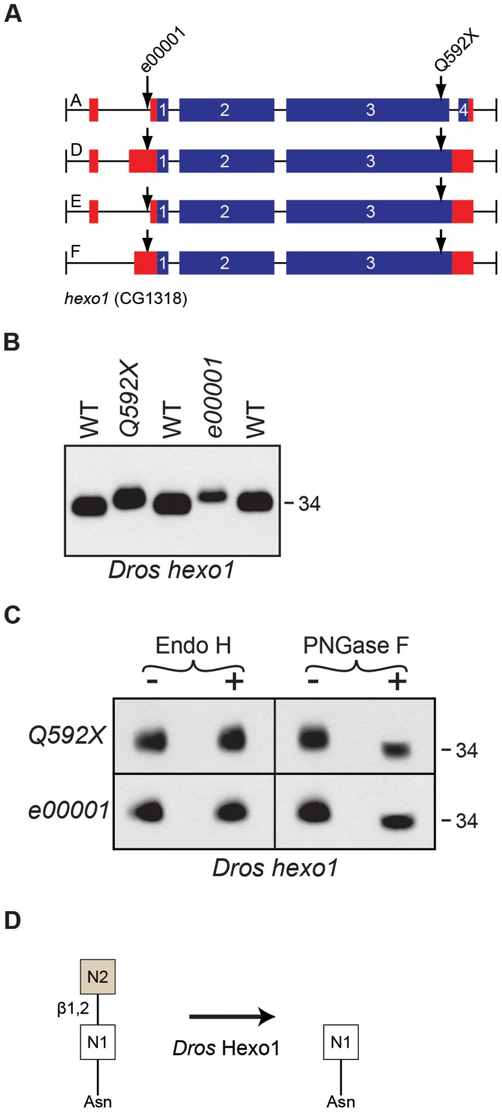 <i>Drosophila</i> Hexo1 is essential for Rh1 deglycosylation.