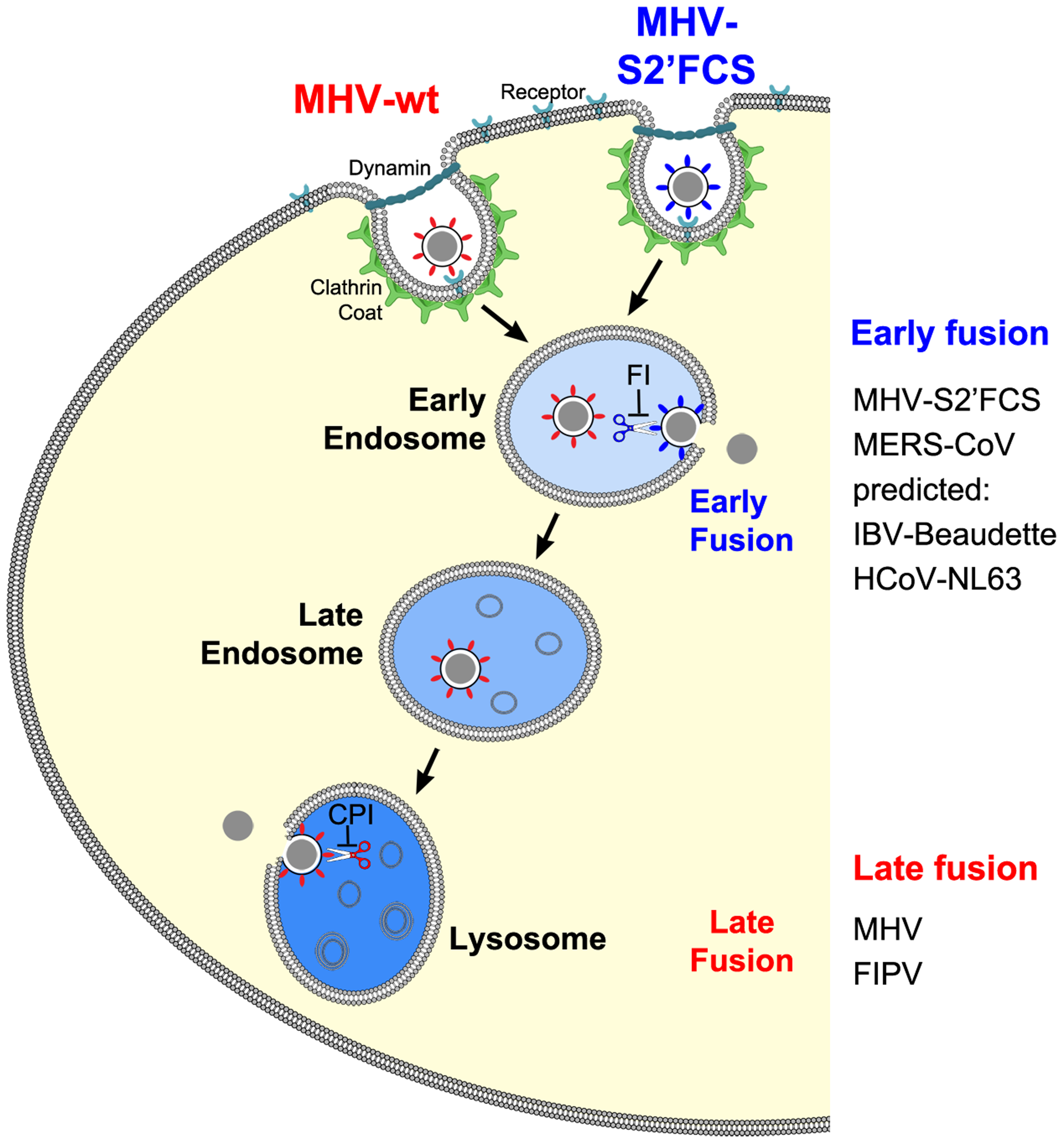 Model of early and late coronavirus fusion.