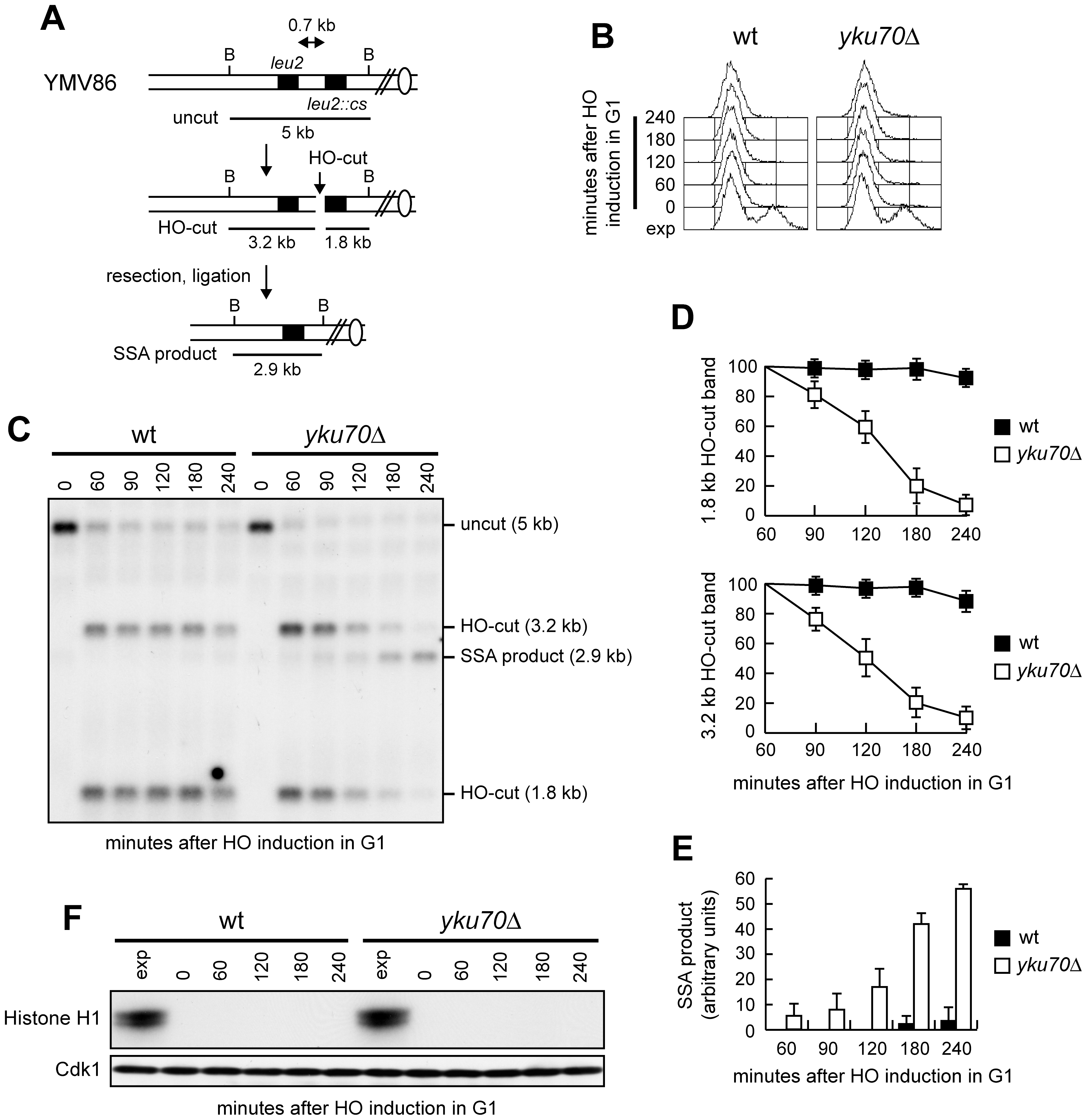 SSA-mediated DSB repair in <i>yku70Δ</i> G1 cells.