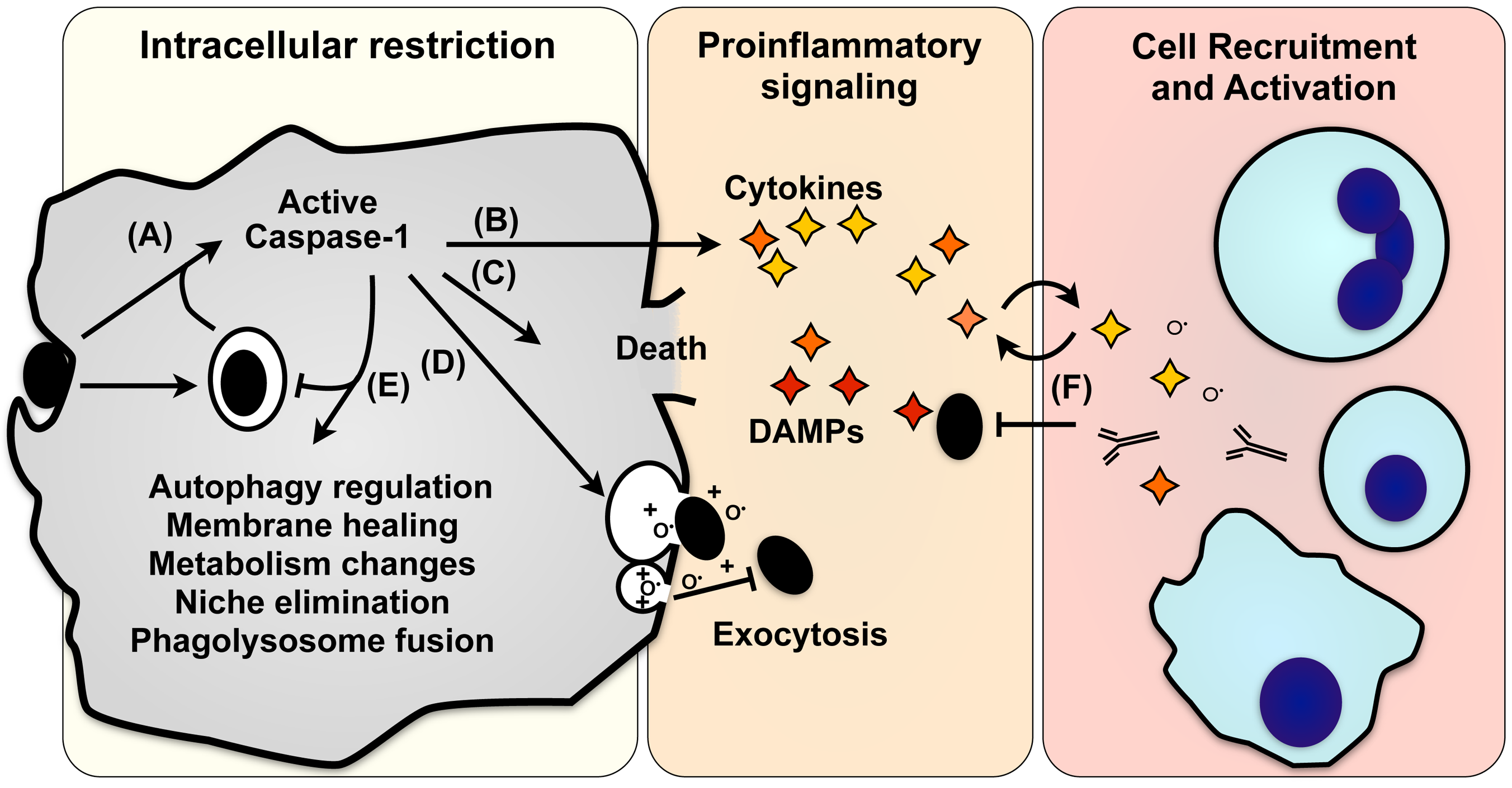 Effector mechanisms of pyroptosis.
