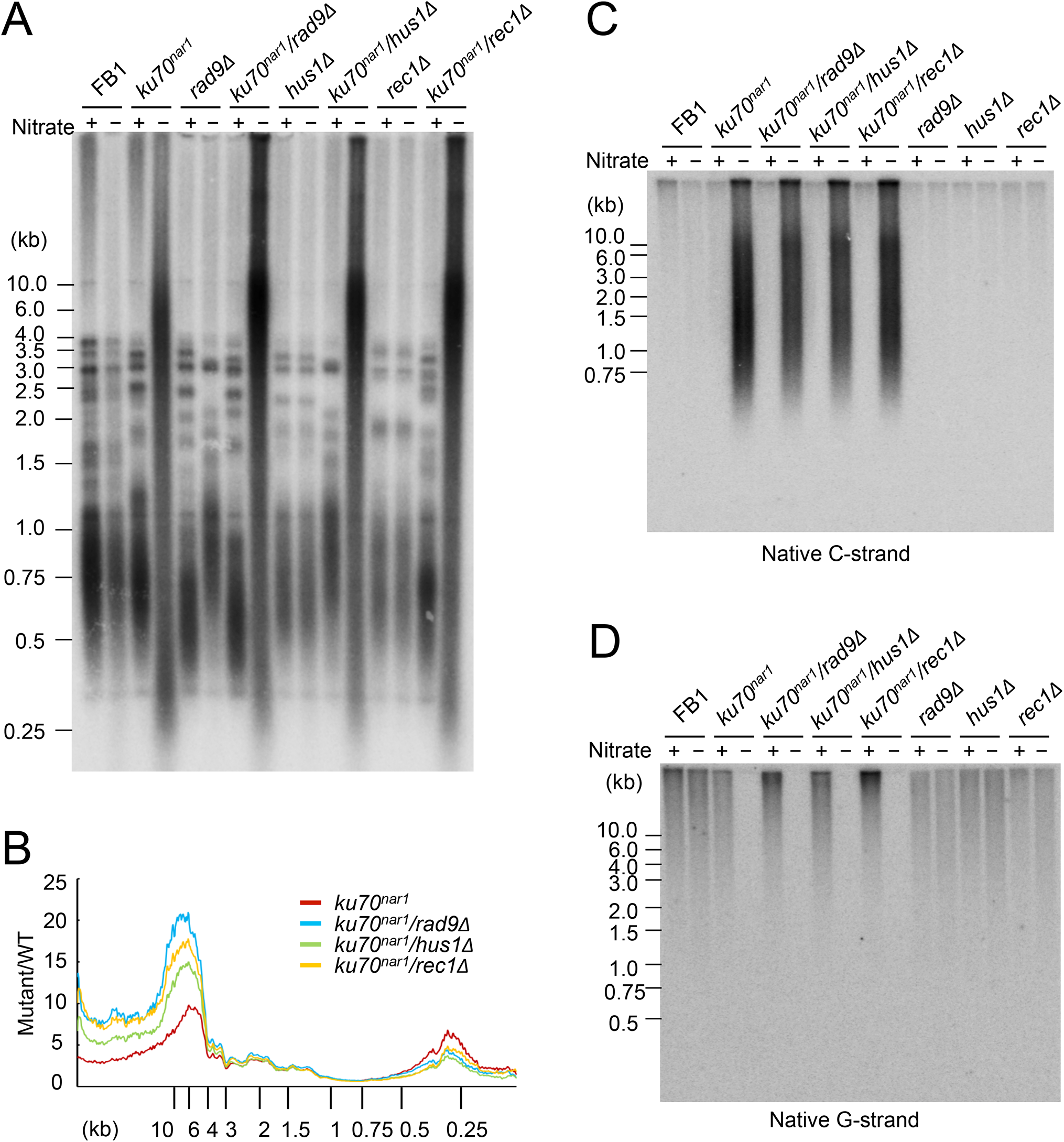 The telomere phenotypes of the <i>9-1-1 ku70</i><sup><i>nar1</i></sup> double mutants.