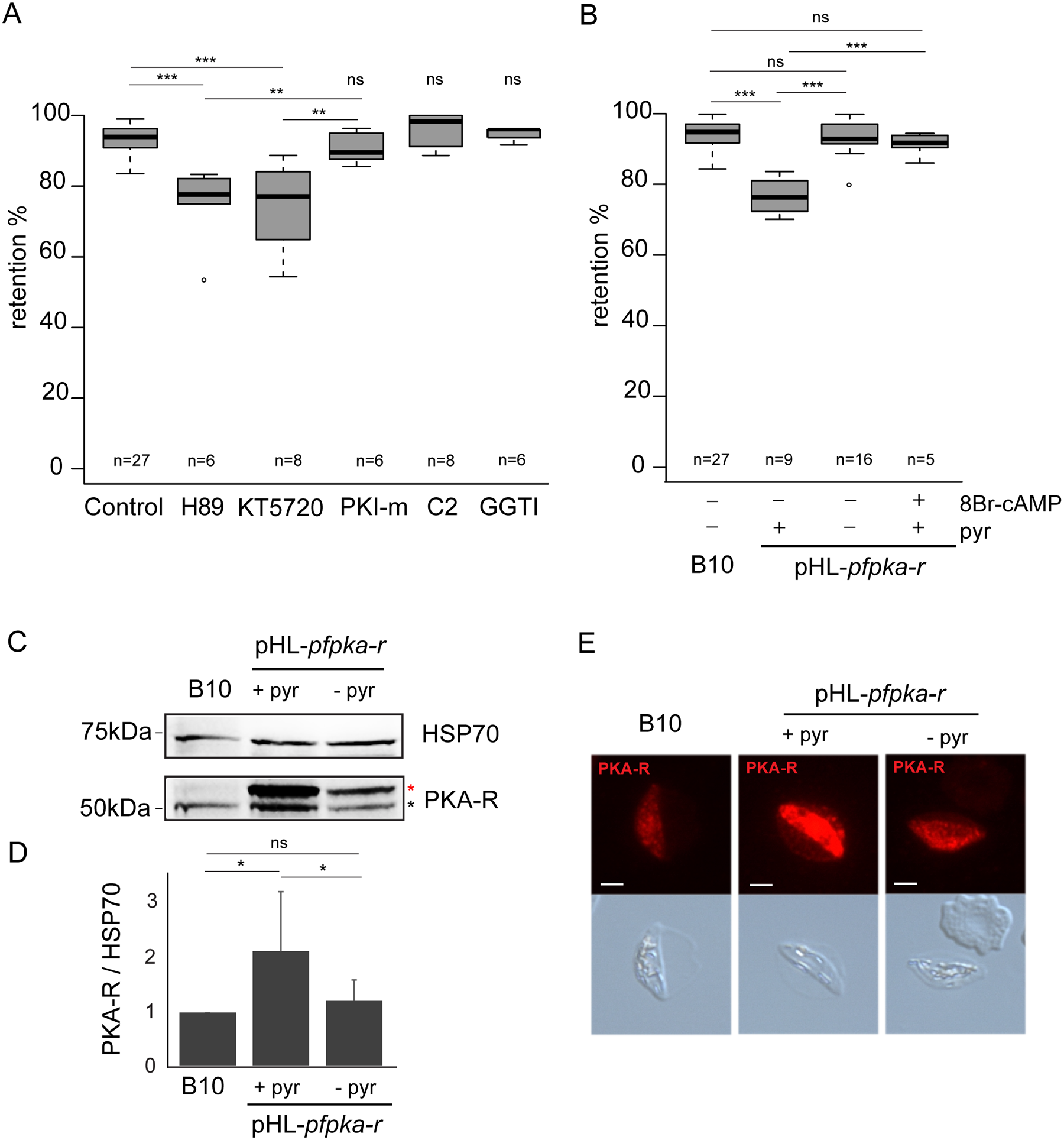 <i>Pf</i>PKA-mediated phosphorylation contributes to immature GIE stiffness.