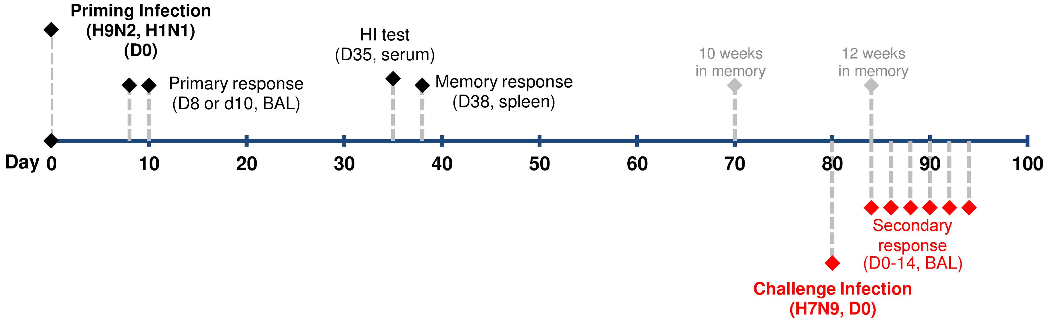Experimental design for analyzing CTL-mediated heterosubtypic immunity against H7N9 virus infection.
