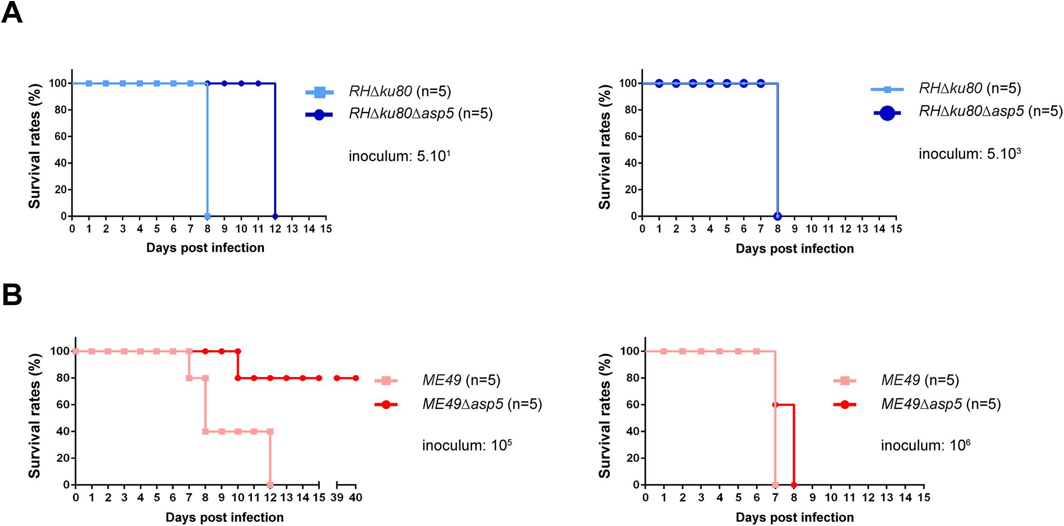 ASP5 deletion affects <i>in vivo</i> virulence of type I and type II parasites.