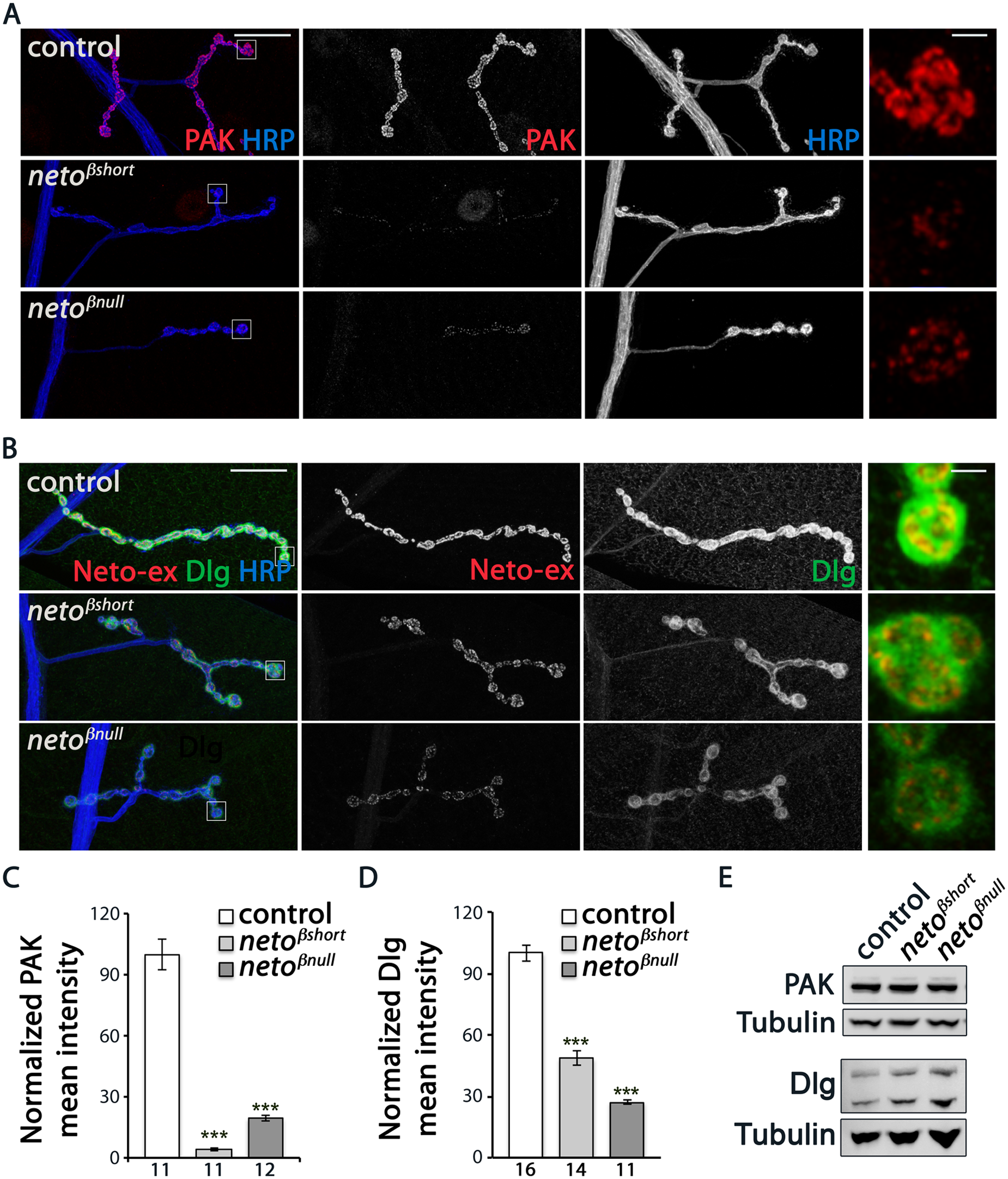 <i>neto-β</i> mutants have reduced postsynaptic components.