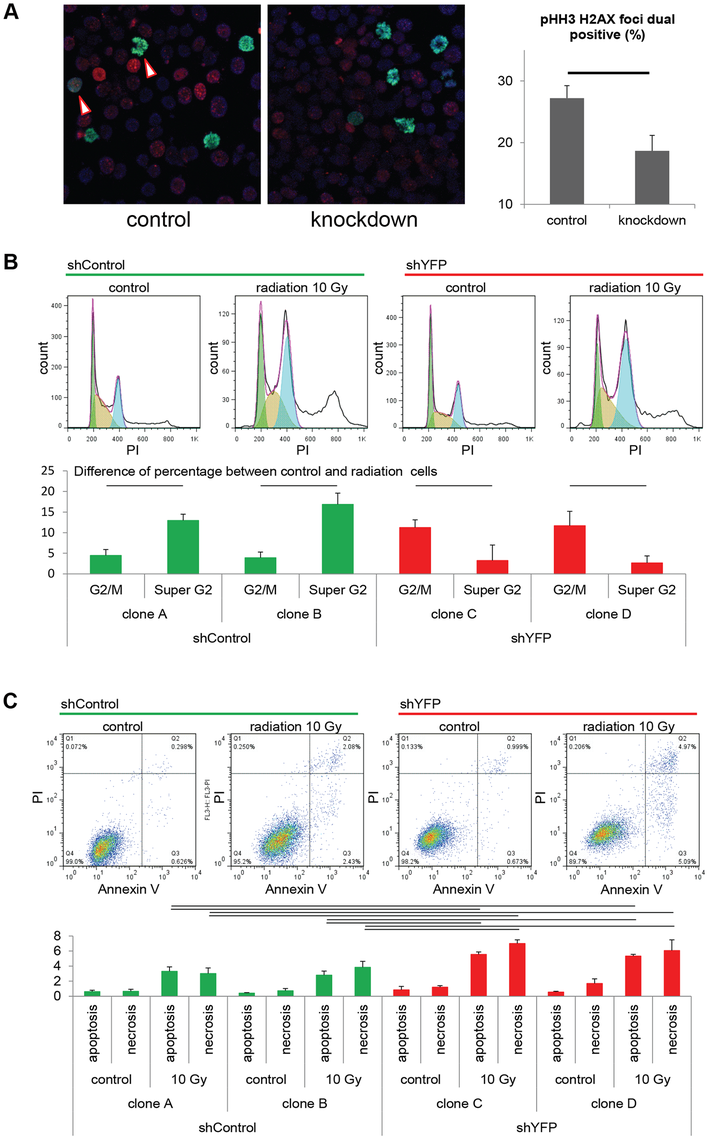 Pax3:Foxo1a facilitates G<sub>2</sub>/M checkpoint adaptation.