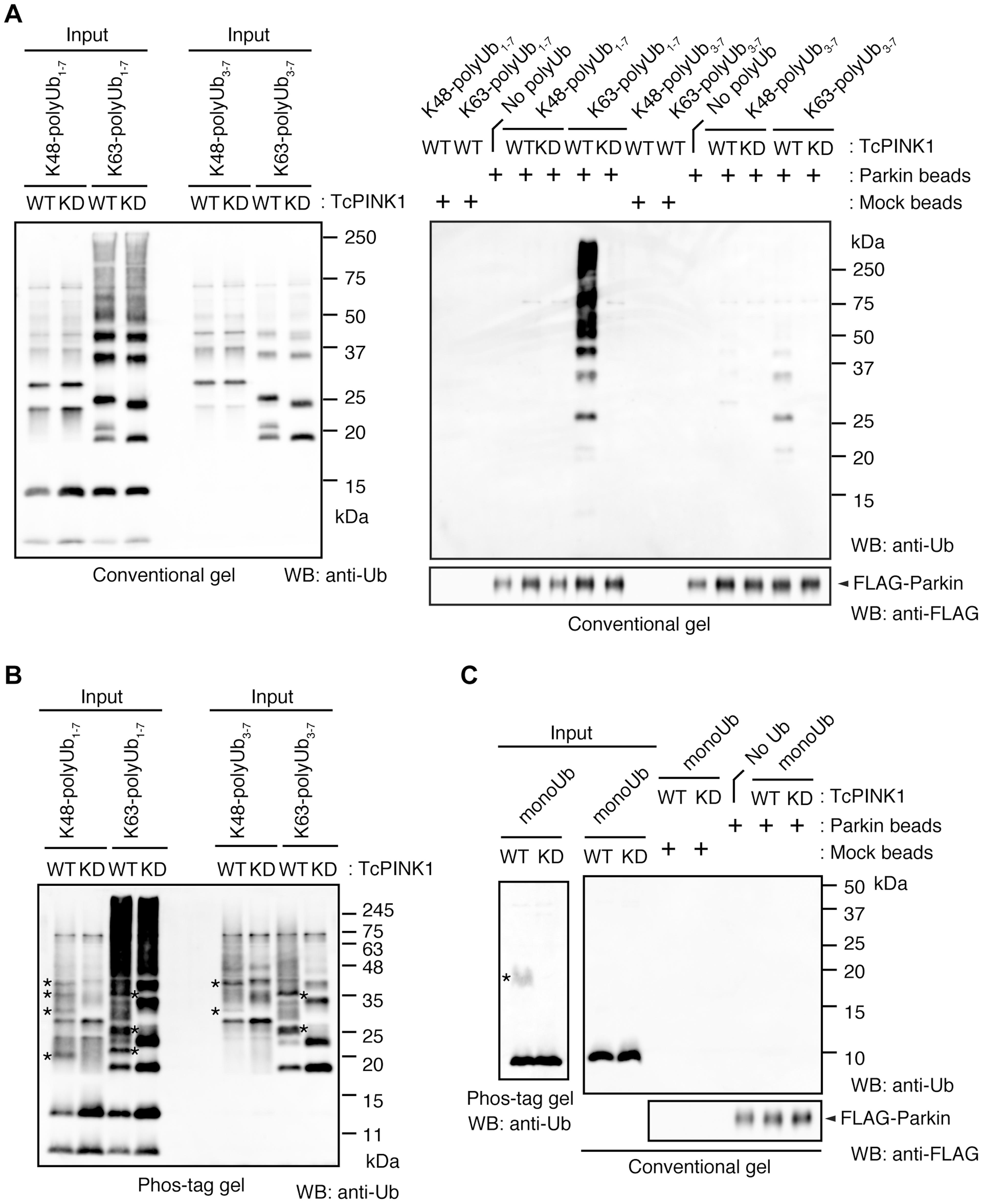 Parkin preferentially binds to K63-linked polyUb phosphorylated by PINK1.