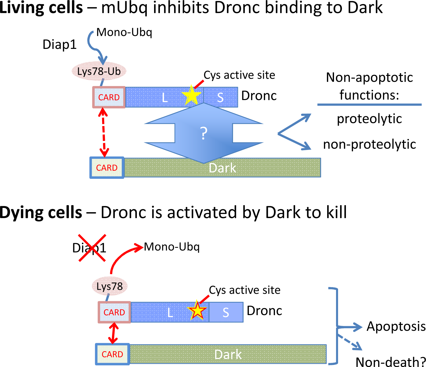 The caspase Dronc functions in both living and dying cells.