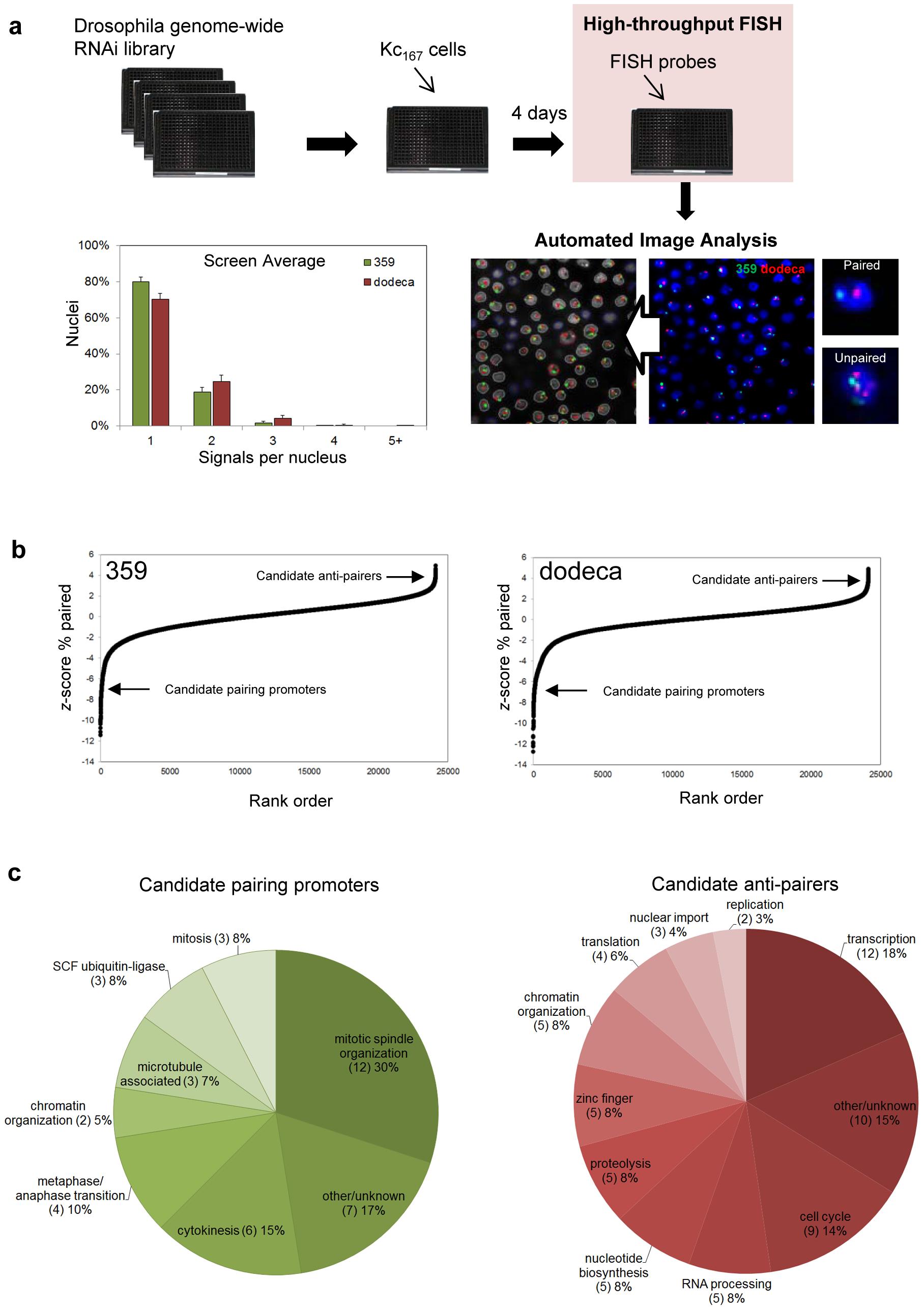 RNAi–mediated FISH–based screen of Drosophila cells for heterochromatic pairing factors.