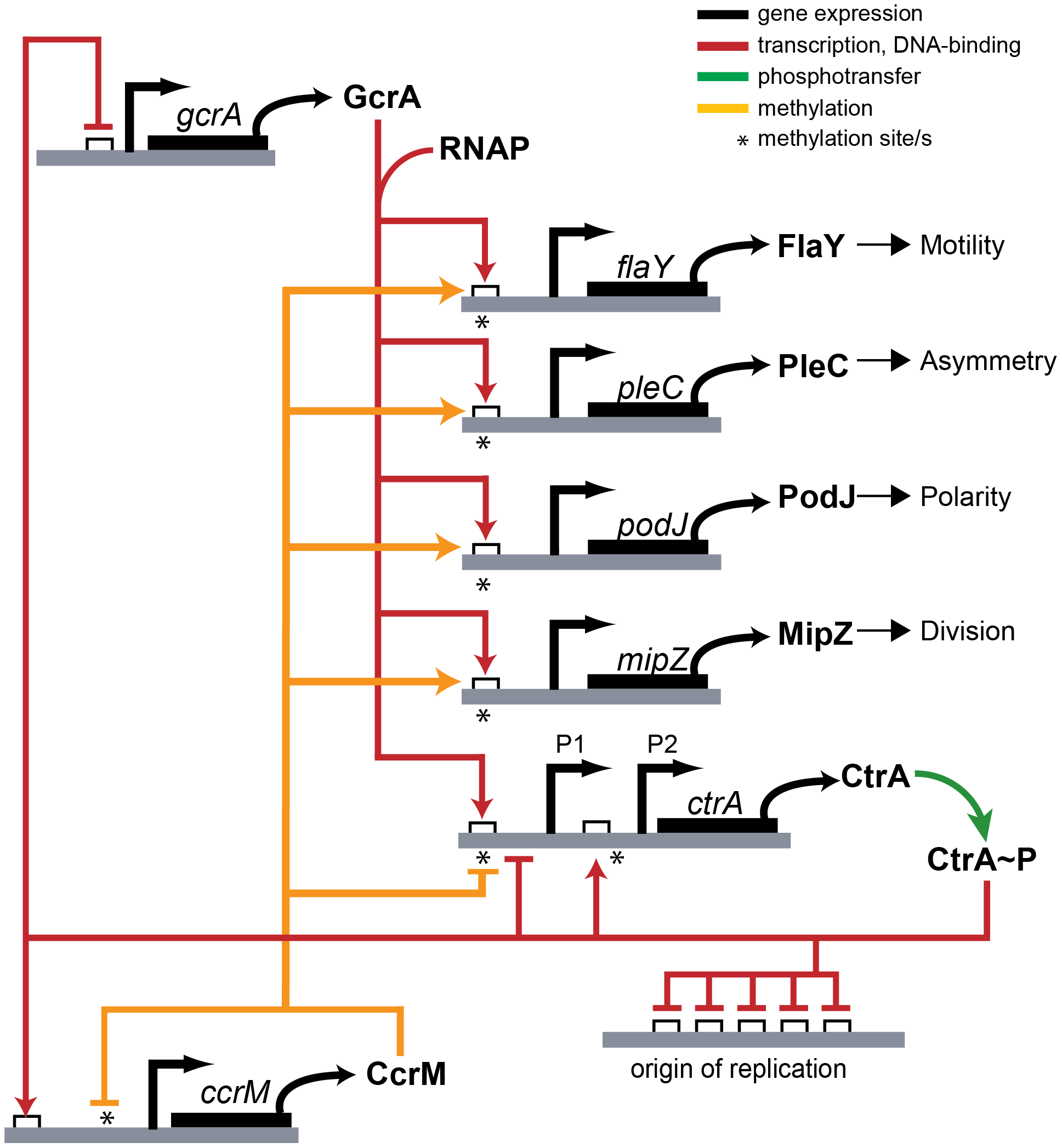 Model of transcriptional regulation by GcrA and CcrM.