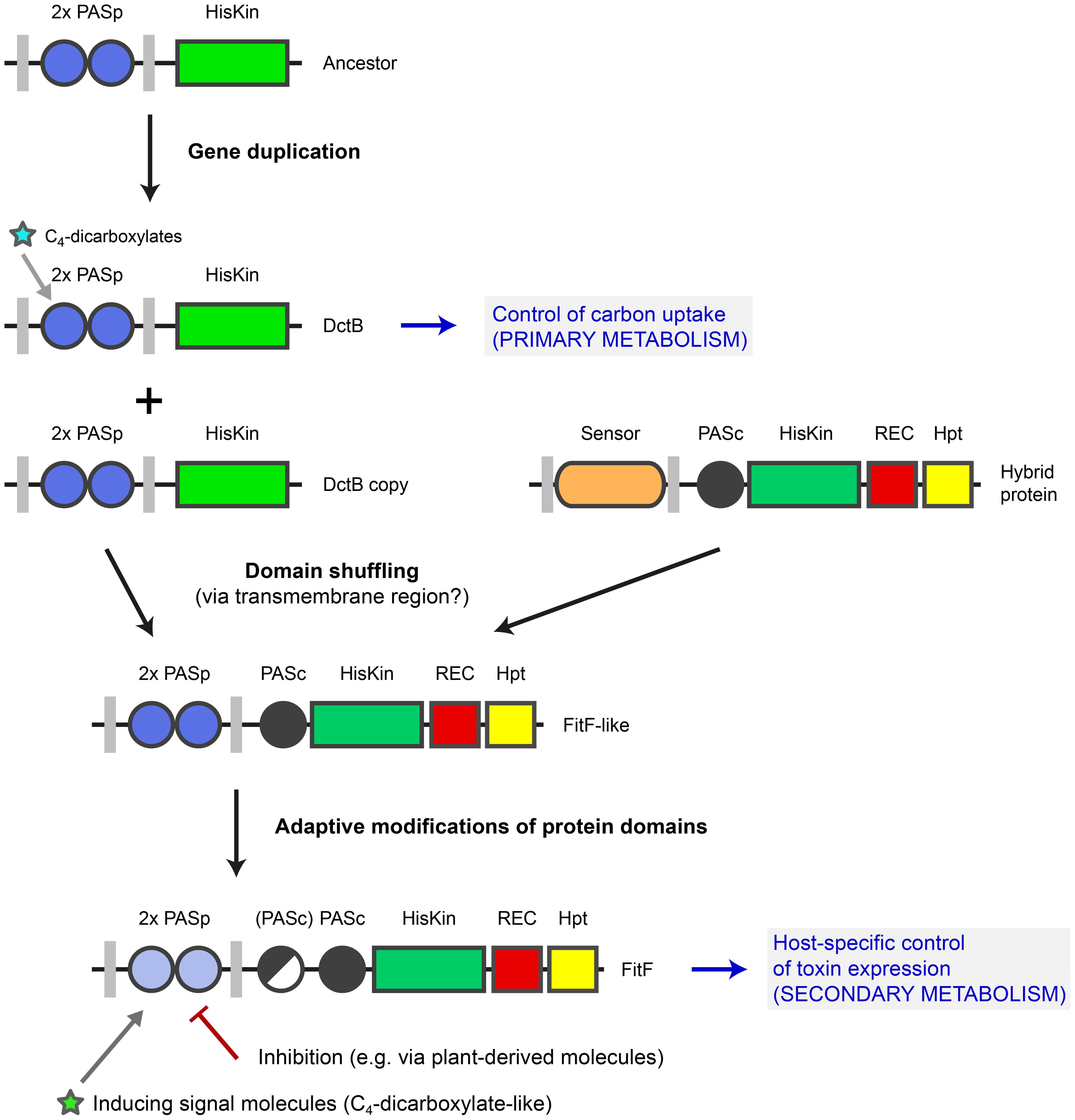 Model for evolution of FitF via a domain shuffling event involving a DctB ancestor.