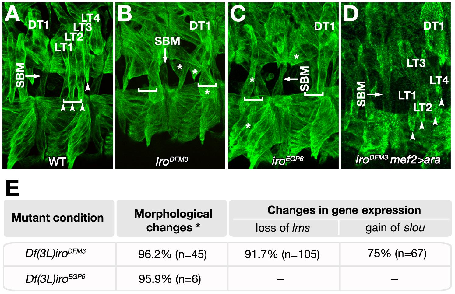 Muscle phenotypes of <i>Iro-C</i> mutant embryos.